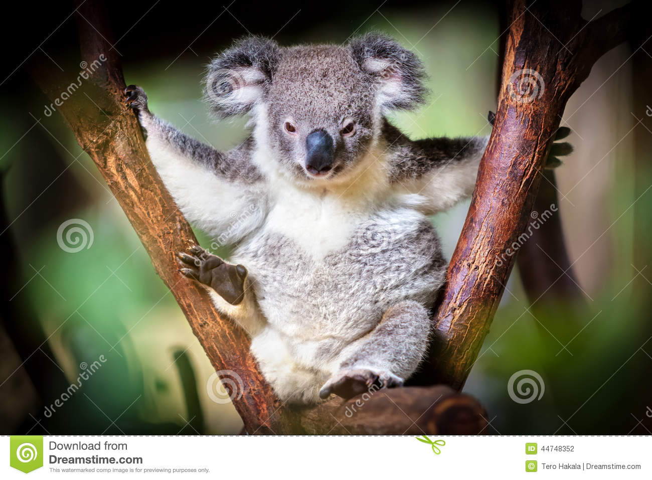 Koala bear sitting on a trunk with green and black background