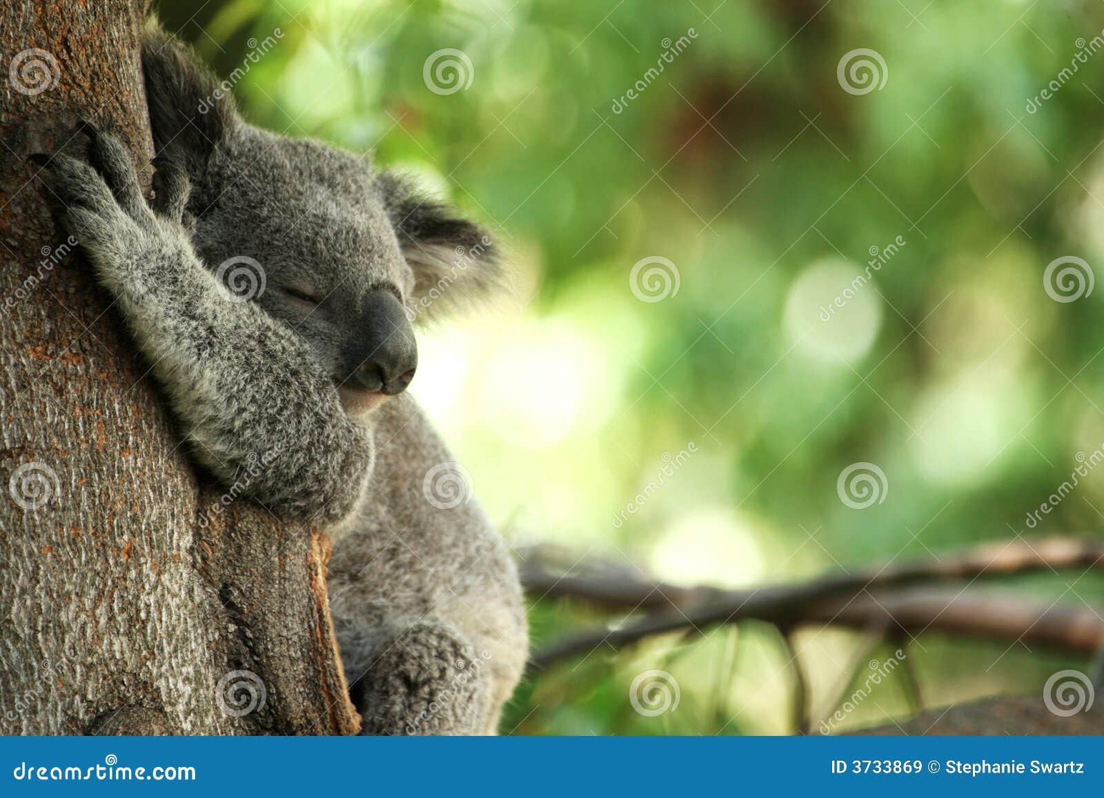 Koala Bear sleeping in a tree