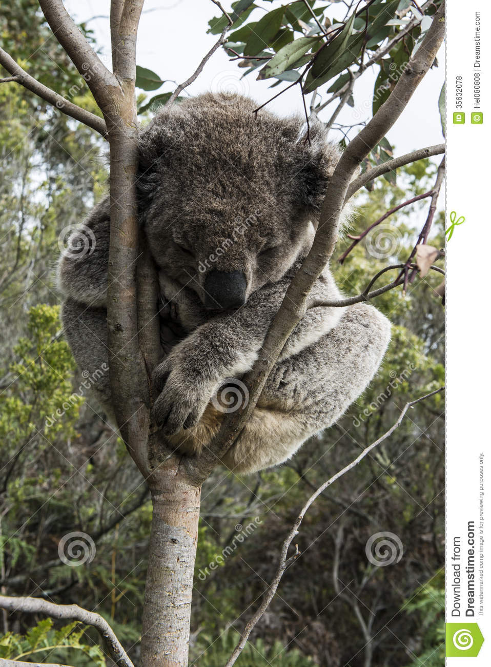 Koala Bear Sleeping In Tree Stock Photo - Image: 35632078 Zoo Road Sign