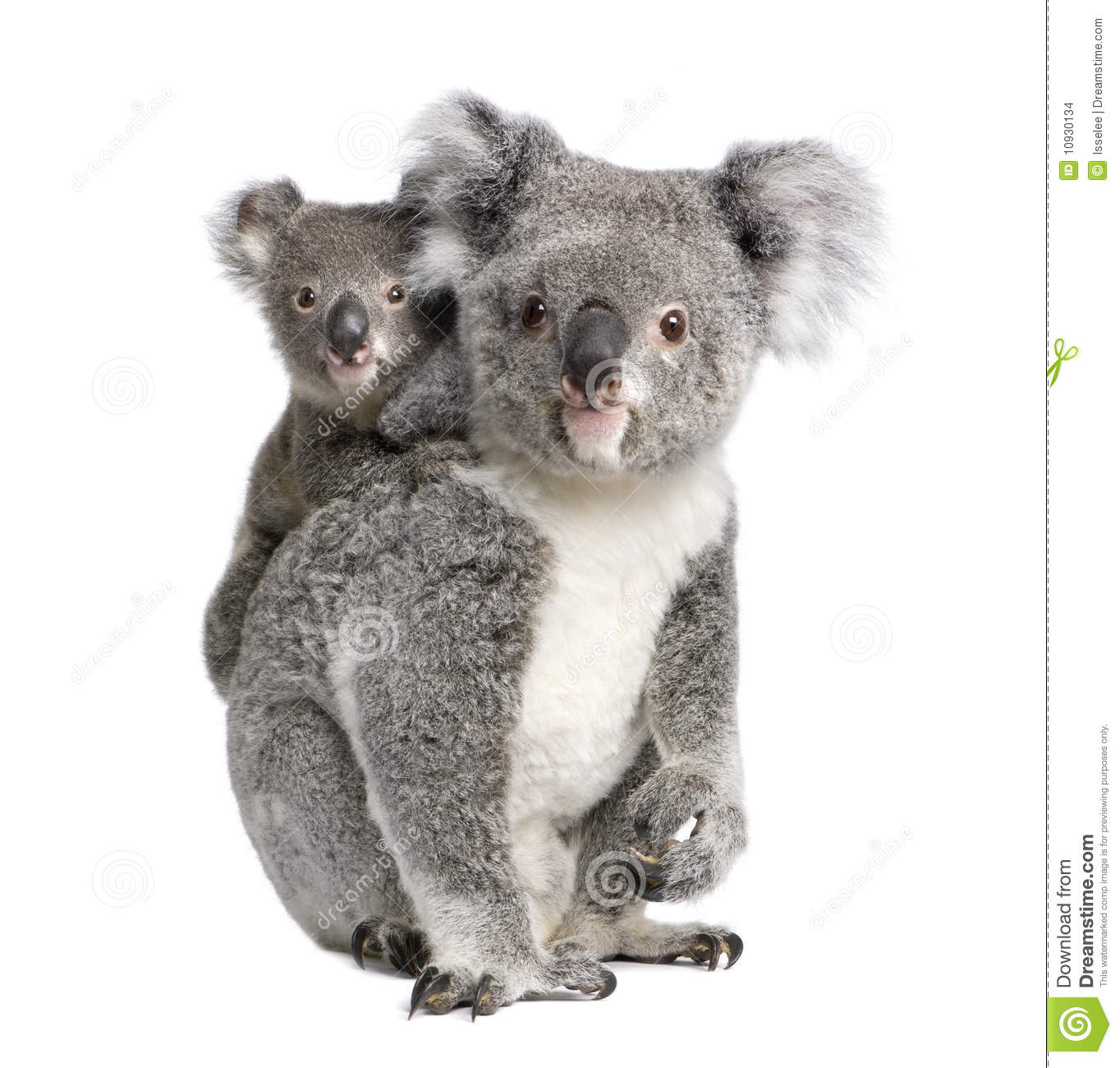Portrait of Koala bears, 4 years old and 9 months old, Phascolarctos ...