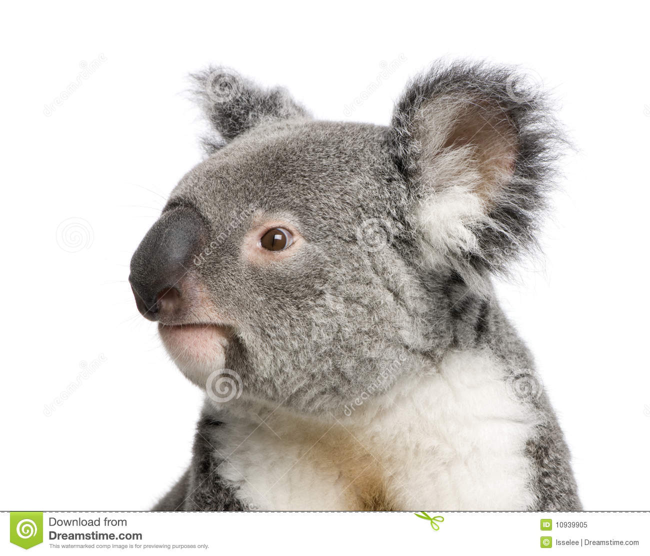 Nature Images 2mb: Koala Bears In Front Of A White Background Royalty Free