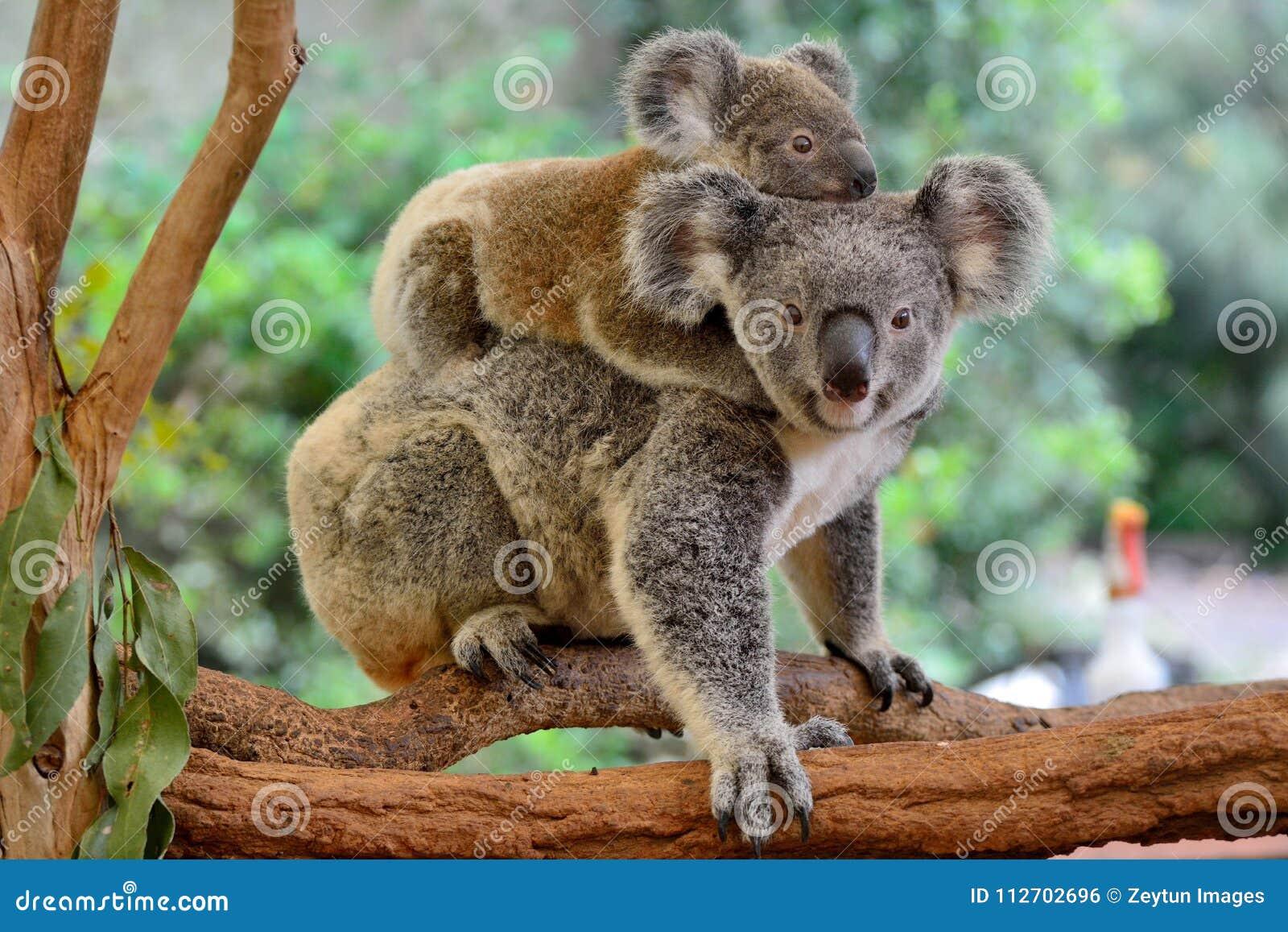 Koala de la madre con el bebé en ella detrás