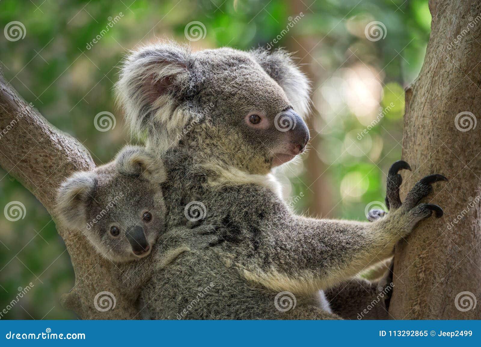 Koala de mère et de chéri