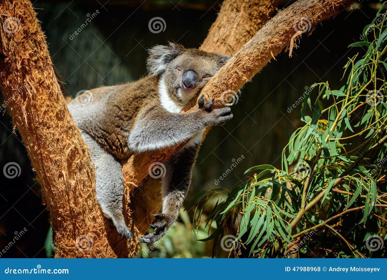 Koala de sommeil