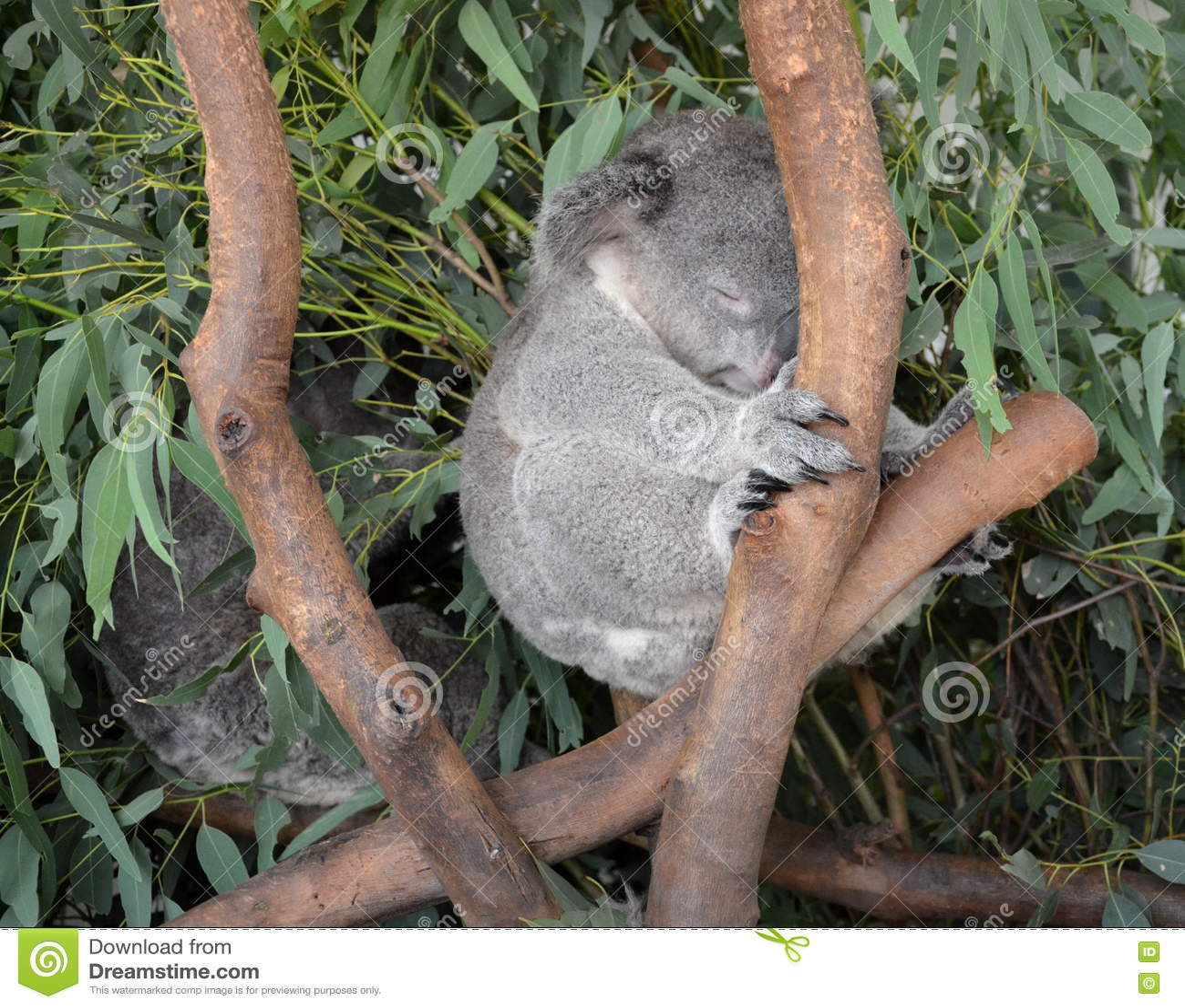 koala de sommeil se reposant sur une branche d'arbre d'eucalyptus