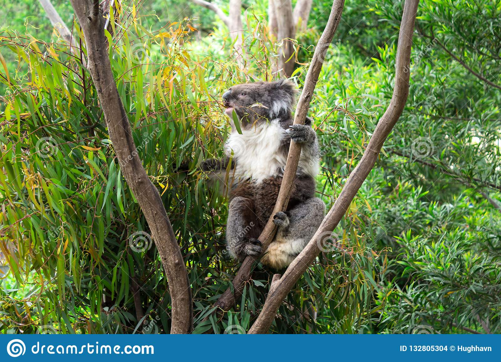 Koala Eating Gum Leaves on the Tree