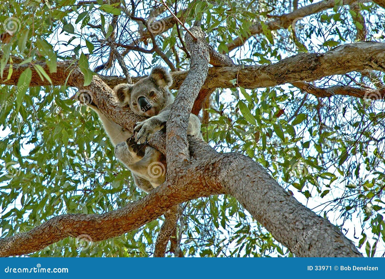 Koala encima de un árbol de goma #2