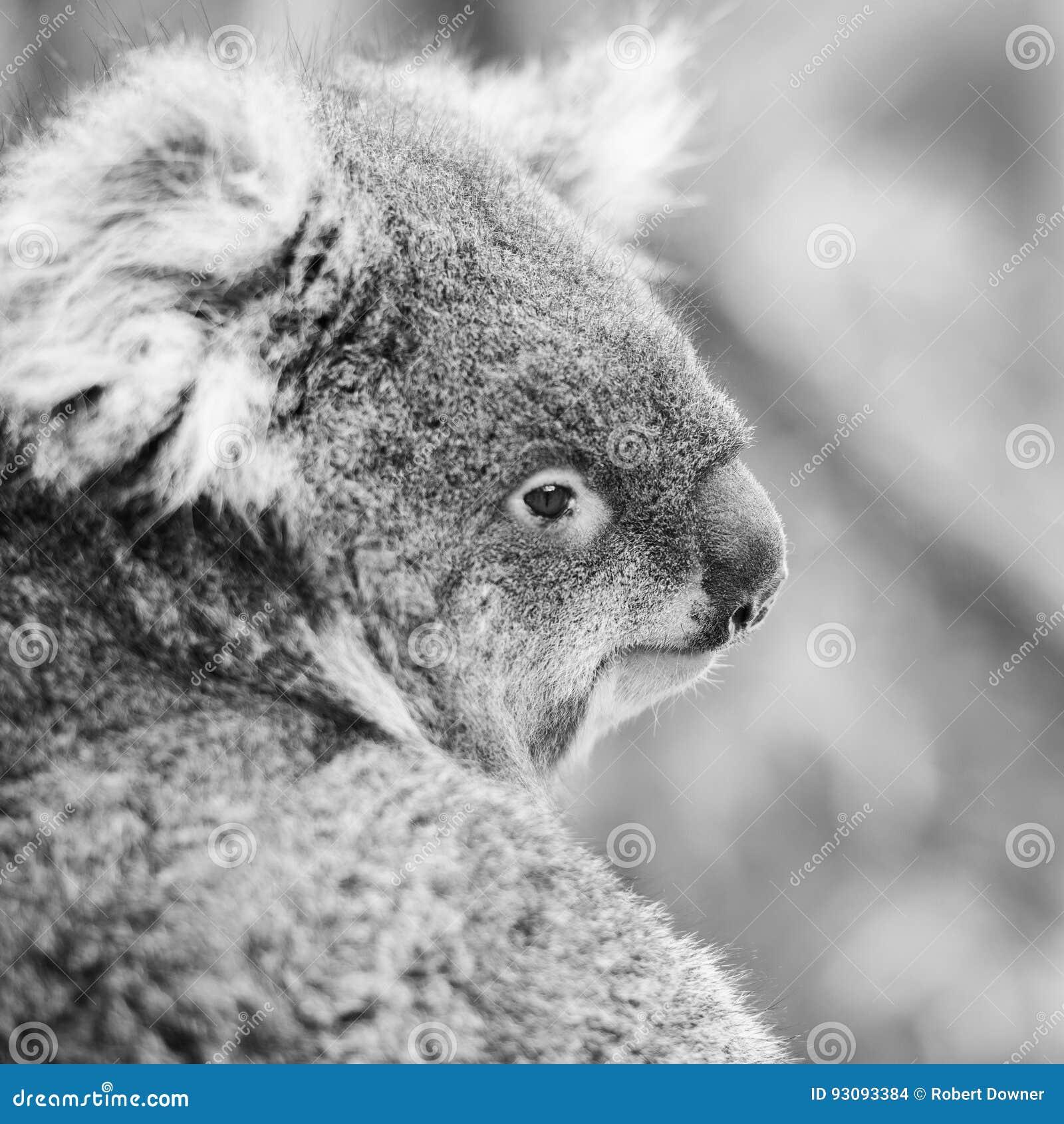 Australian koala outdoors in a eucalyptus tree black and white
