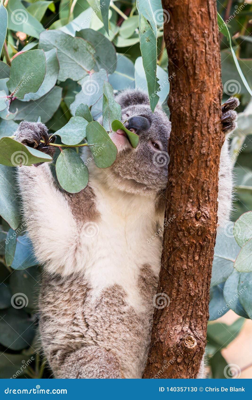 Koala feeding on gum leaves