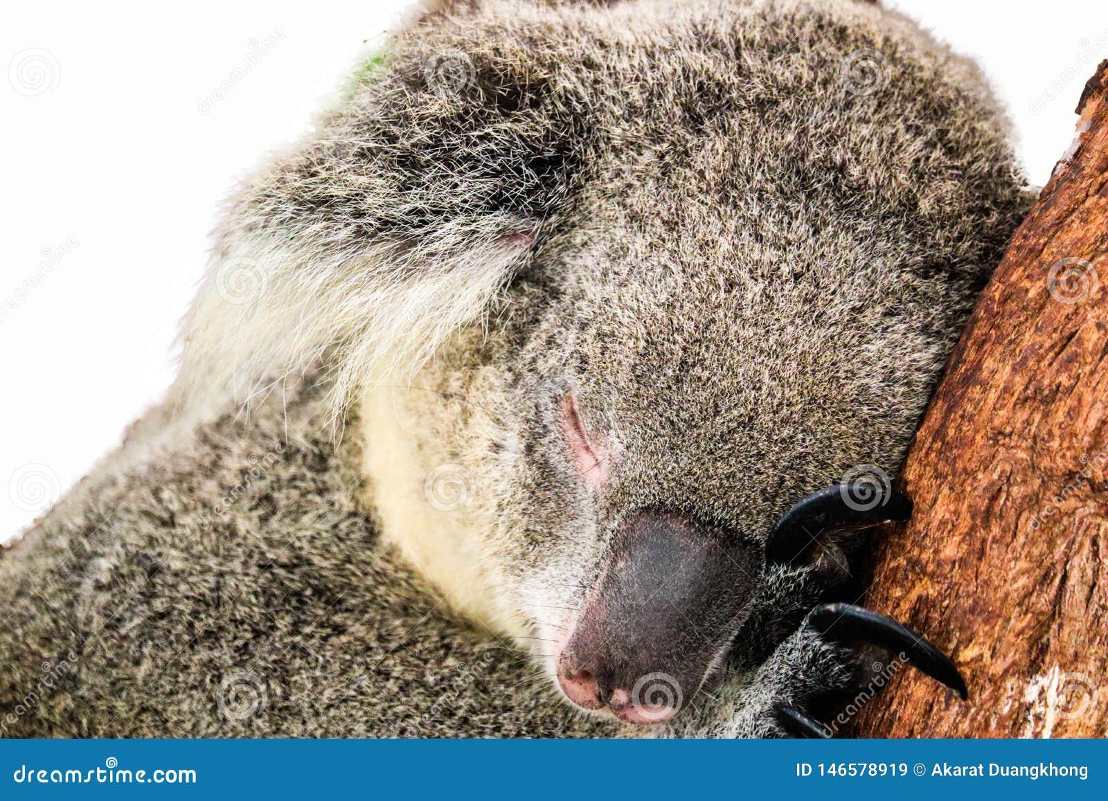Koala isolated on white background