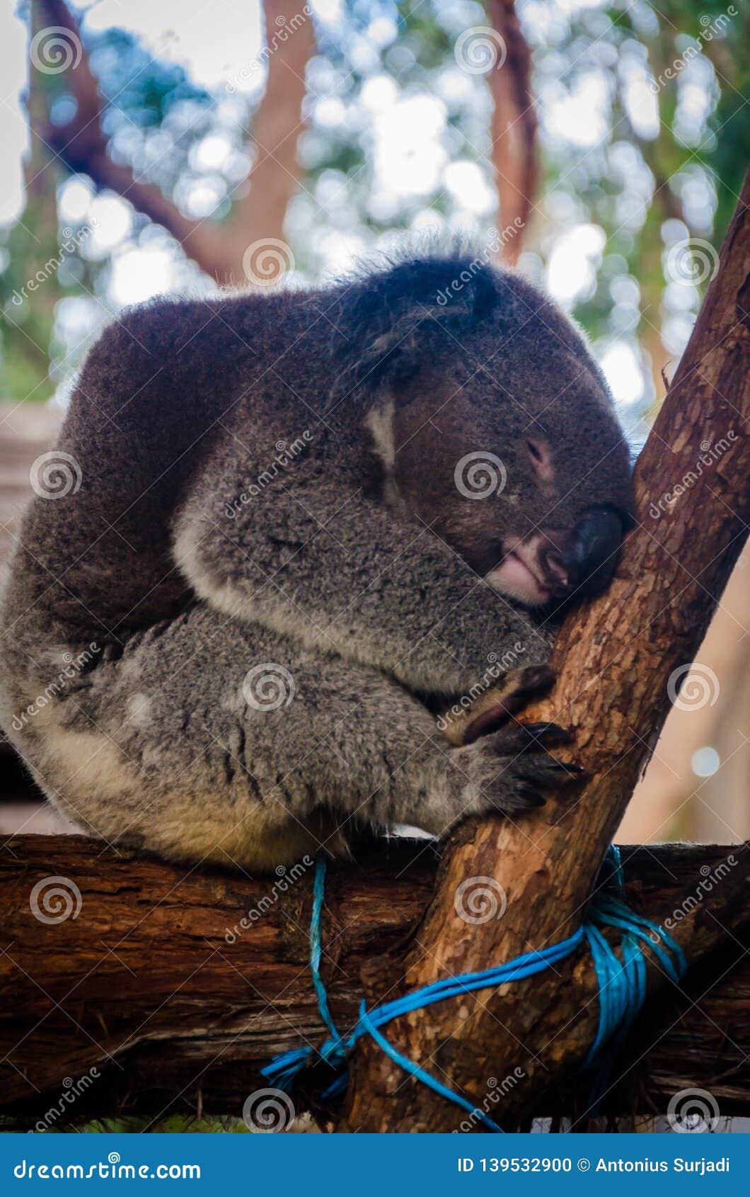 Koala linda que tiene un ensueño en un árbol