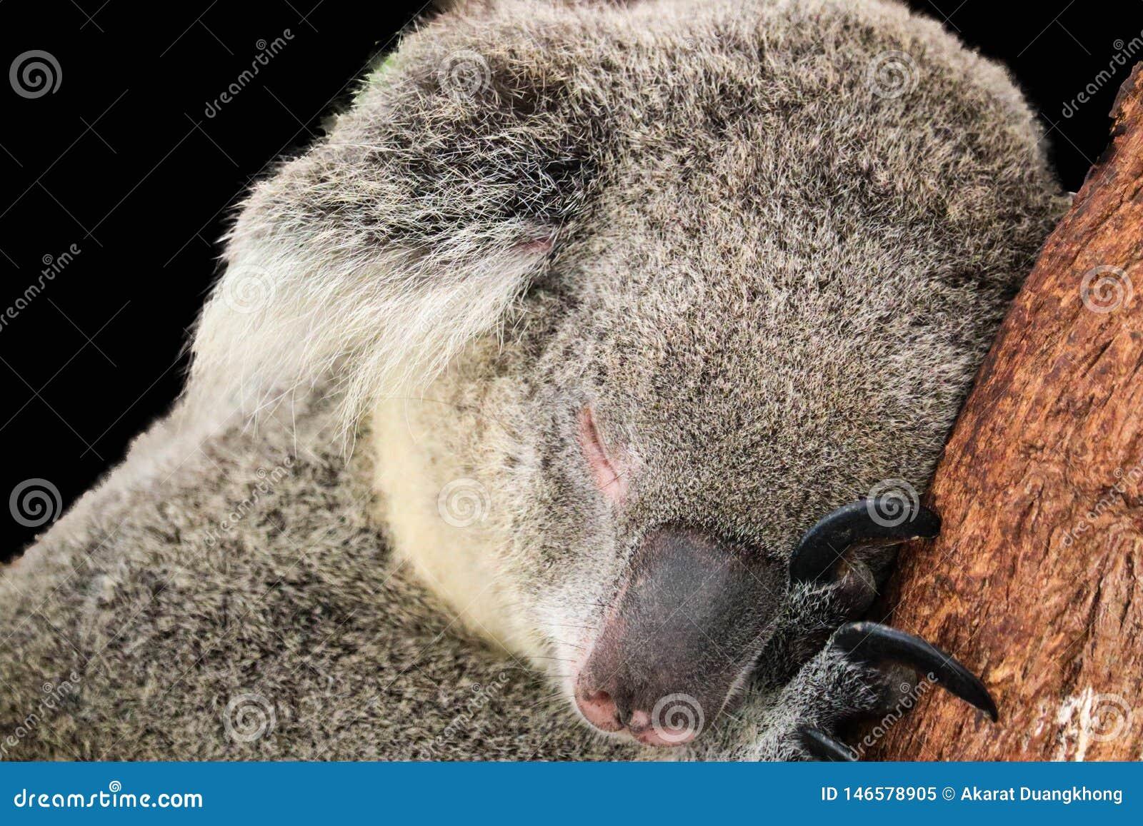 Koala lokalisiert auf schwarzem Hintergrund