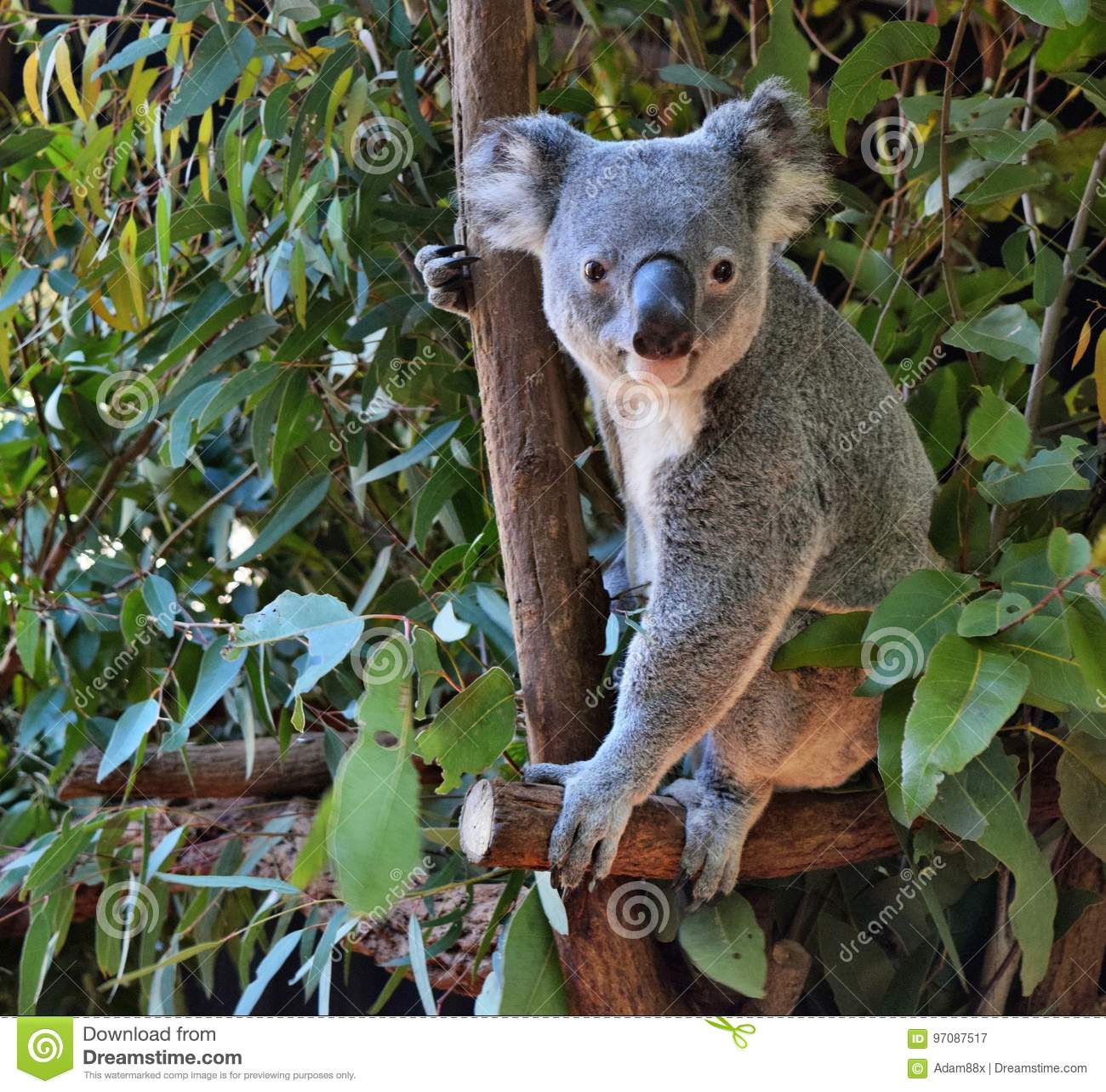 koala mignon regardant sur un eucalyptus de branche d 39 arbre image stock image du curieux. Black Bedroom Furniture Sets. Home Design Ideas