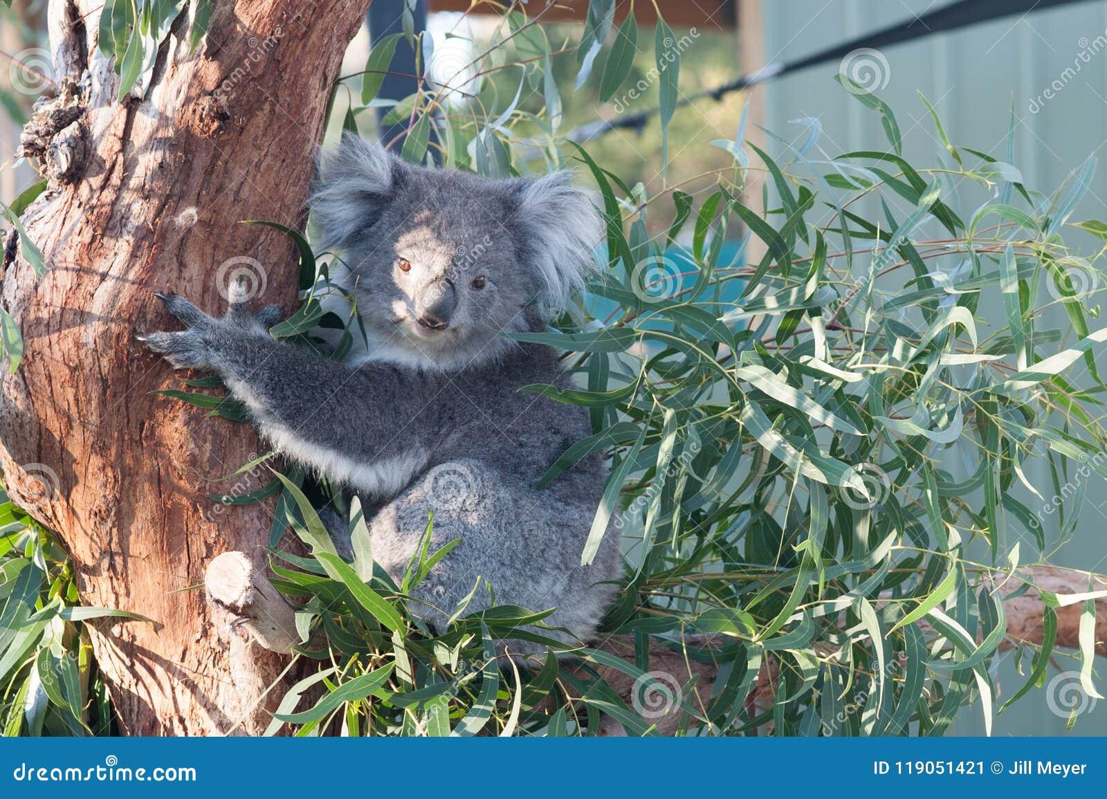 Koala que come las hojas