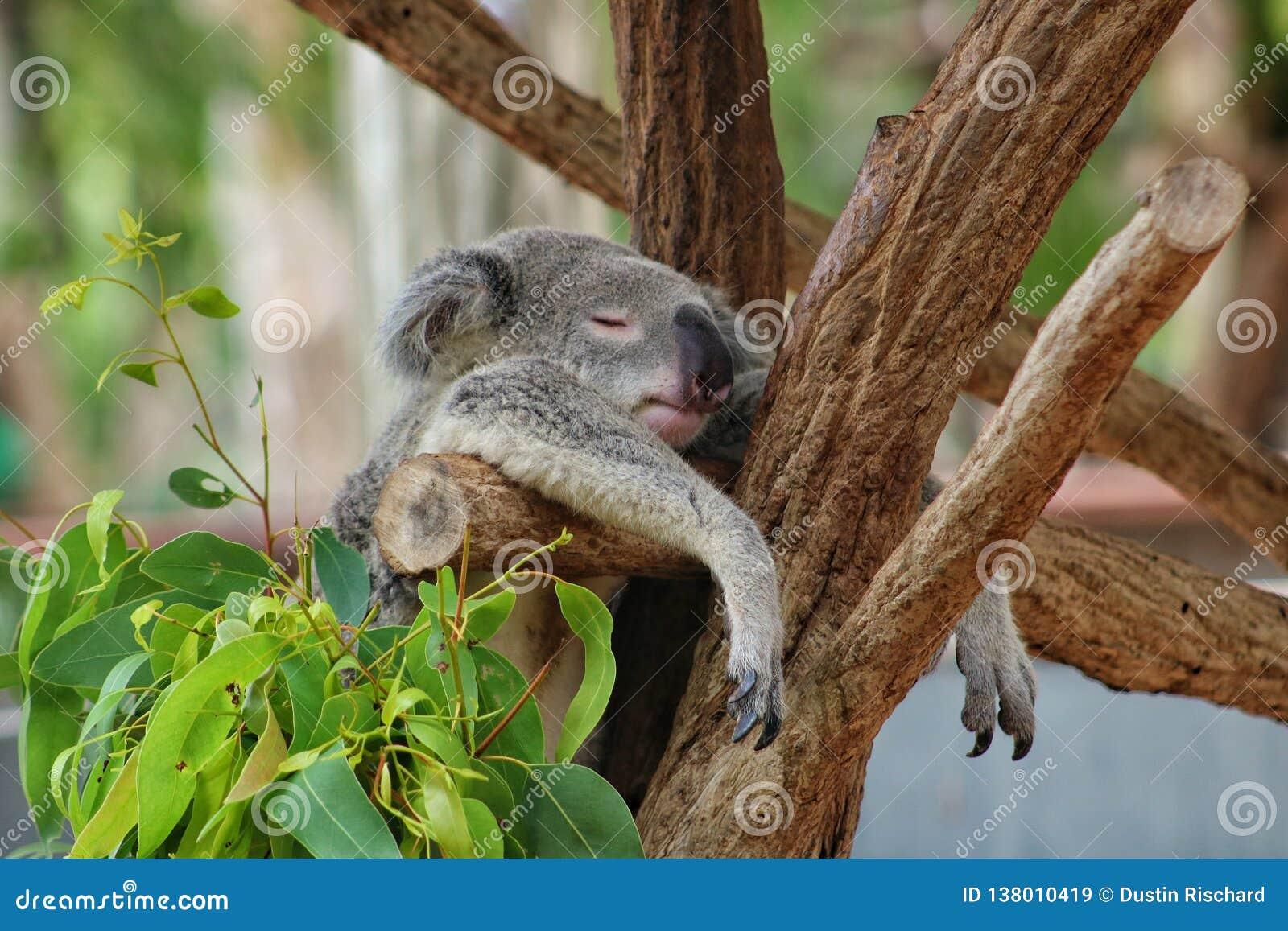 Koala som hänger i träd medan he& x27; sova för s