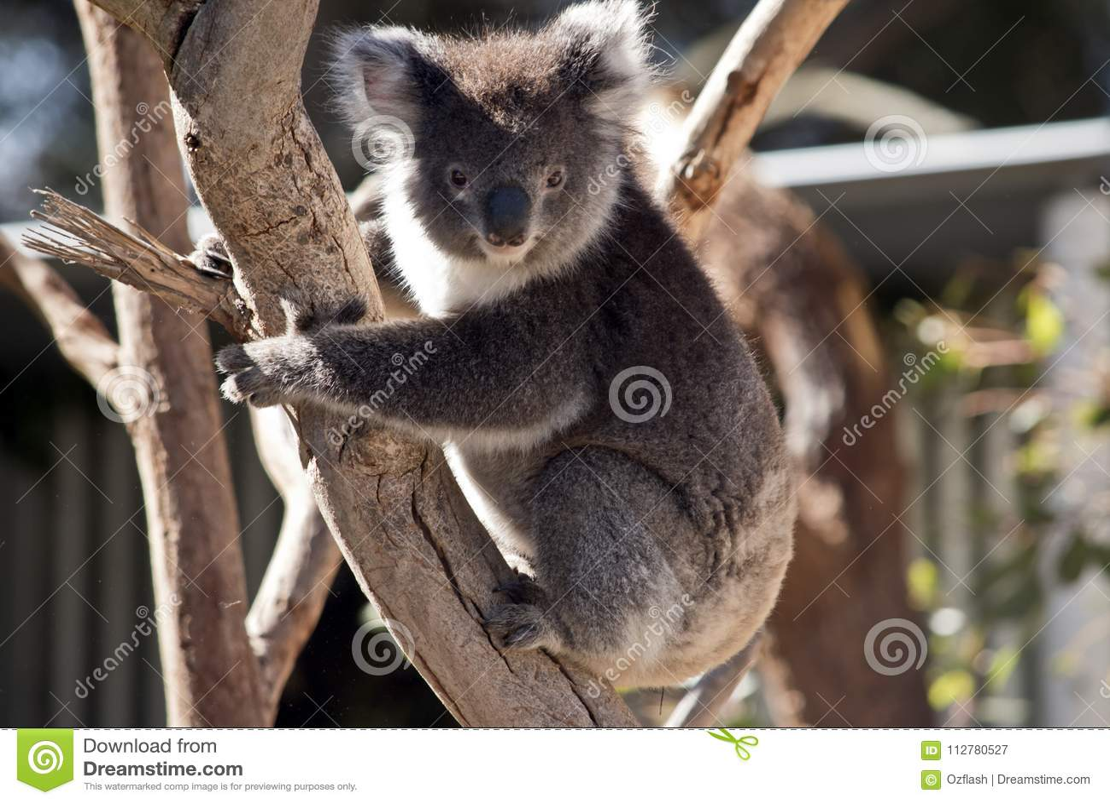 Koala upp utslagsplats