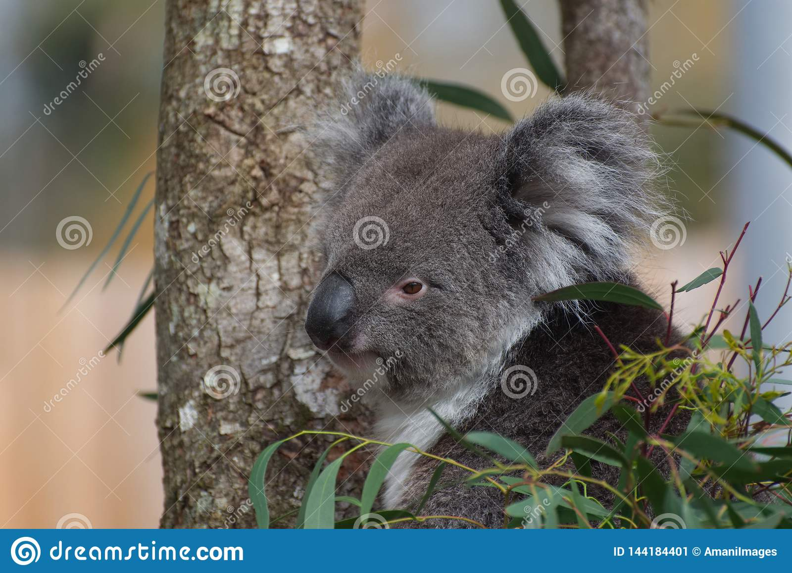 KoalaPhascolarctoscinereus