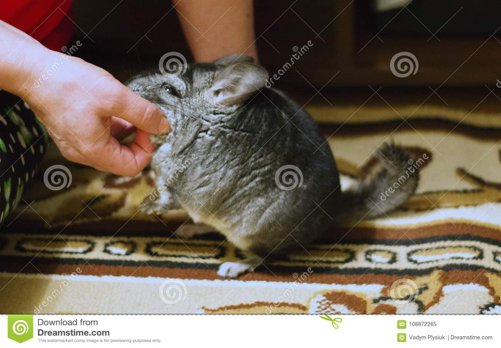 Kobieta drapa popielatą puszystą szynszylę Uroczy zwierzę domowe z w ten sposób