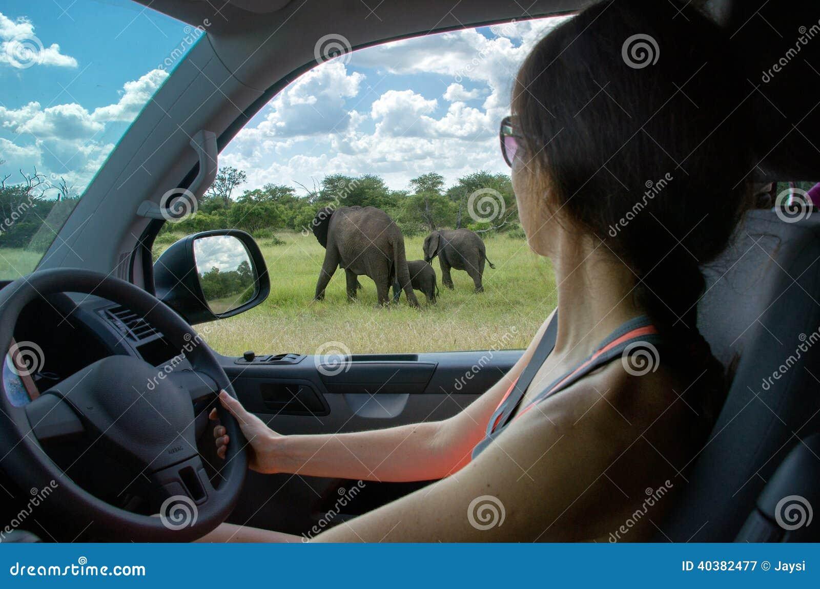 Kobieta patrzeje słonia na safari