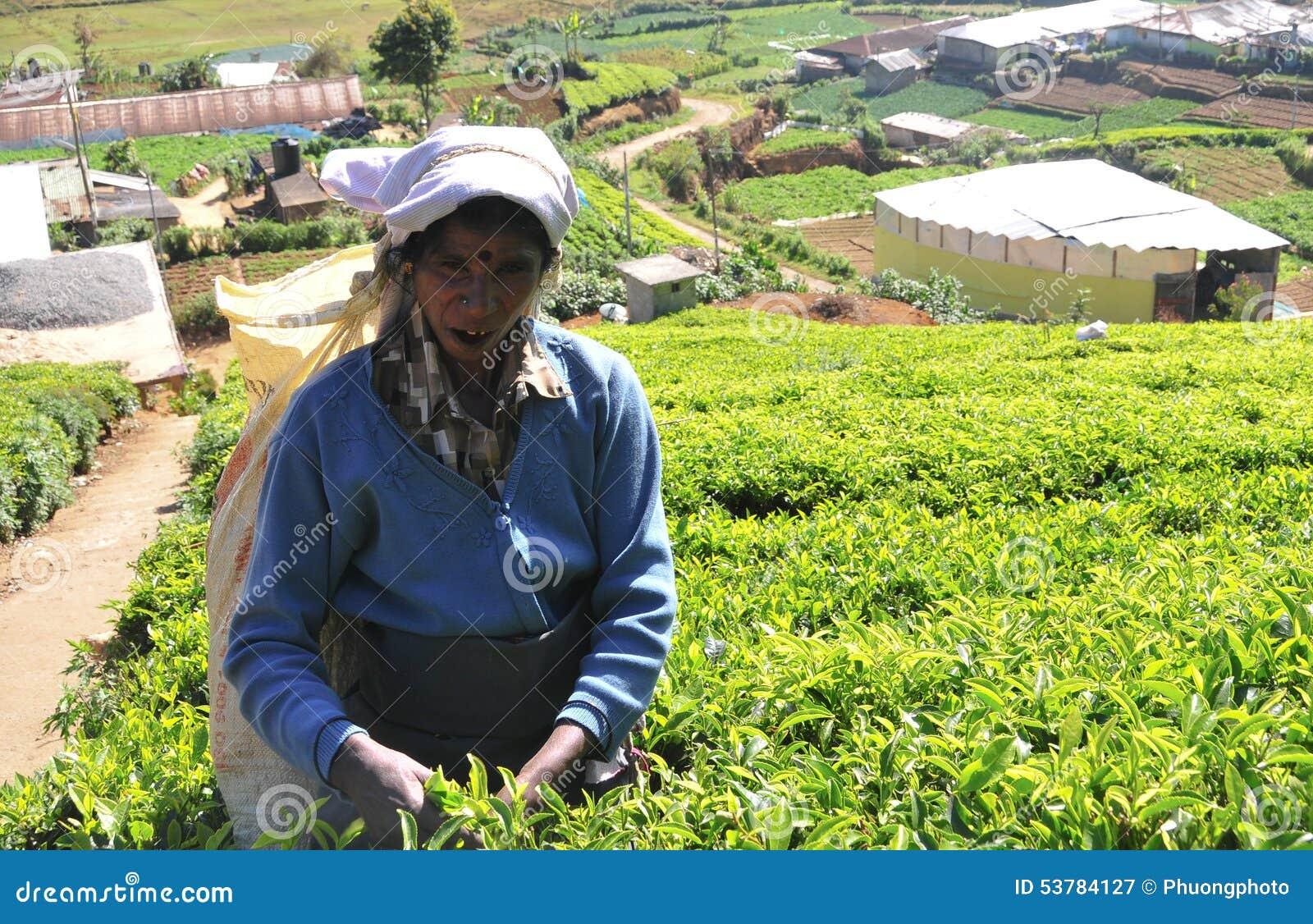 Kobieta pracuje w herbacianej plantaci