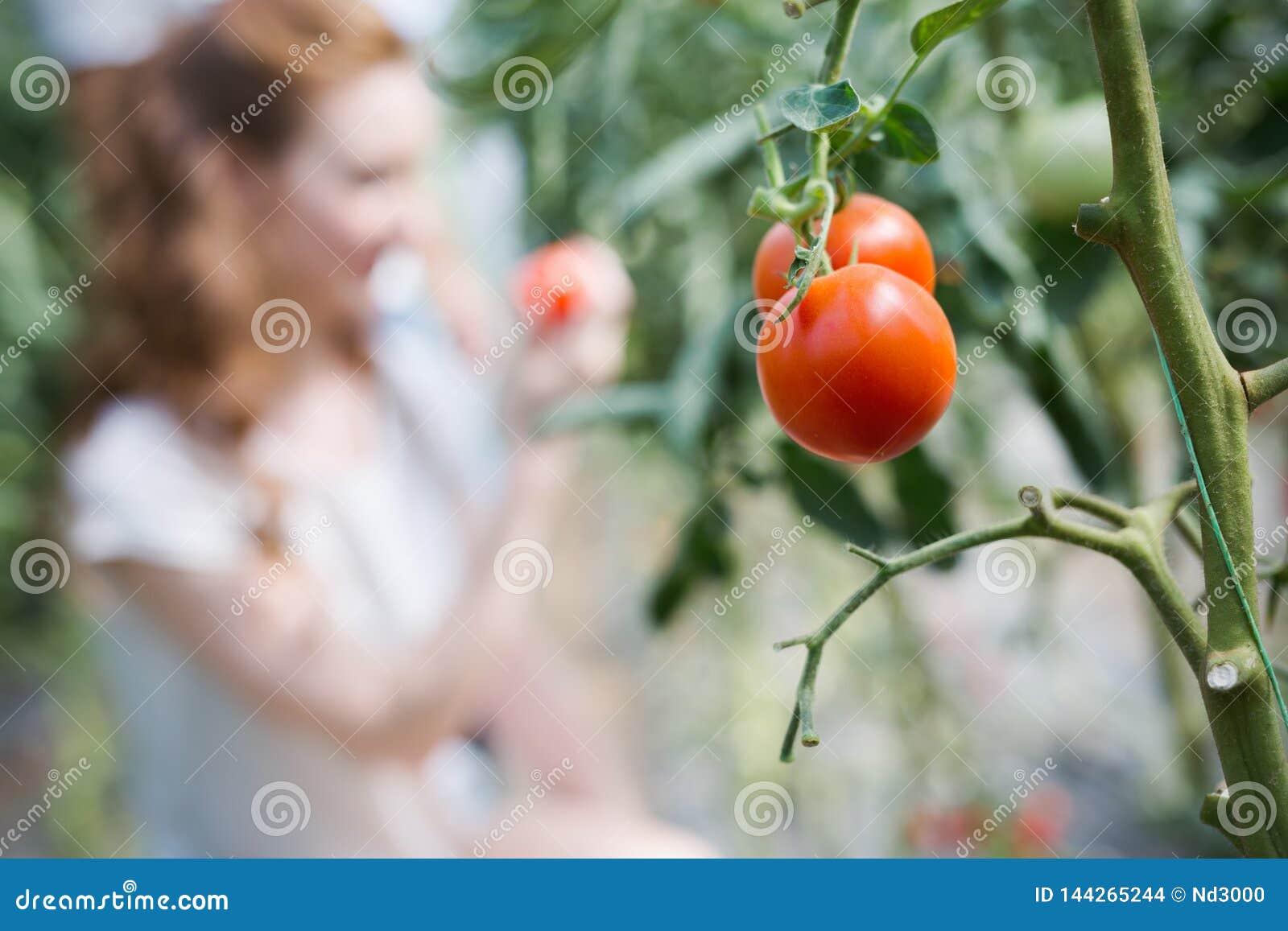 Kobieta pracuje w pomidorowej szklarni
