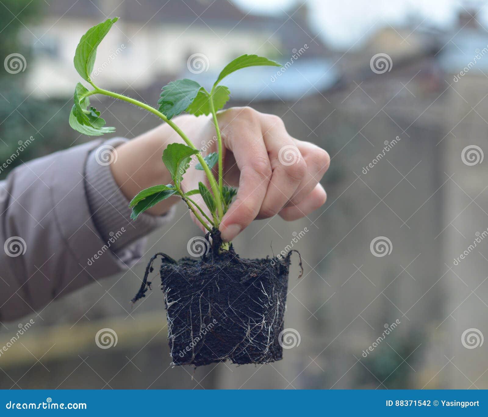 Kobieta trzyma truskawkowe rozsady
