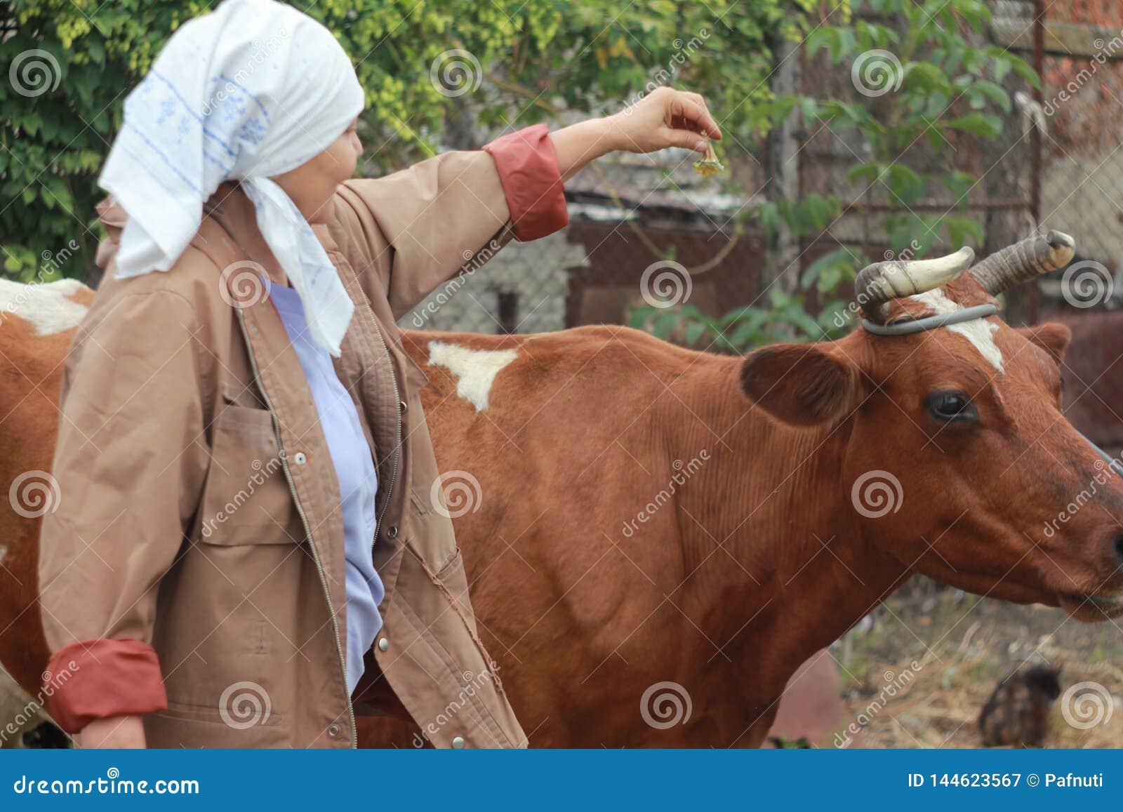 Kobiety średniorolny karmienie krowa Ñ  oncept: hodować