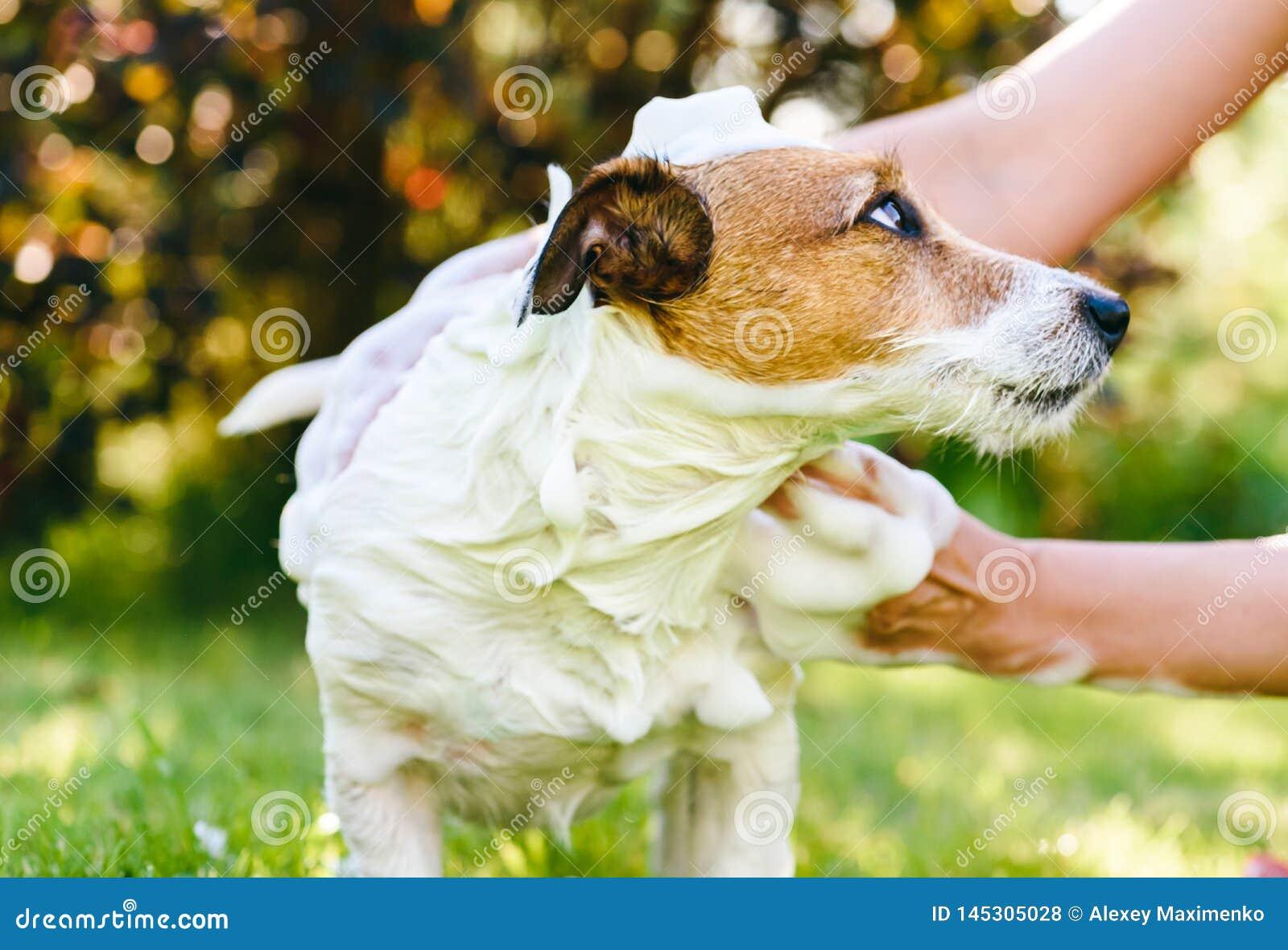 Kobiety domycia pies z szamponem plenerowym przy ciepłym letnim dniem