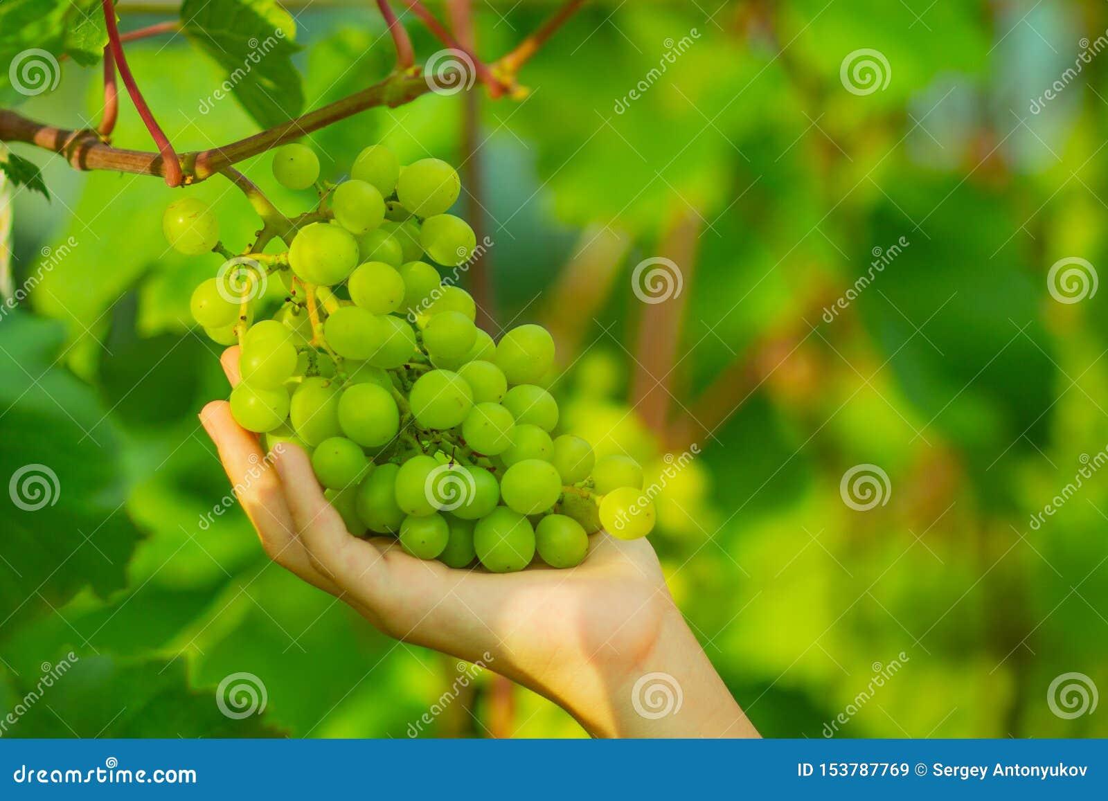 Kobiety ręka zbiera zielonych winogrona na gałąź