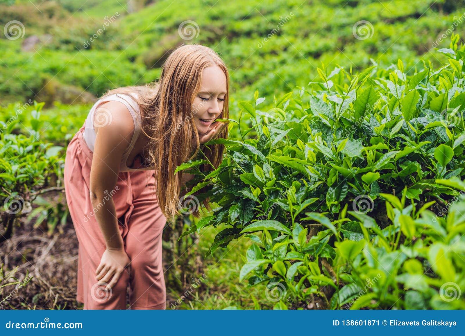 Kobiety turystyczne przy herbacianą plantacją Naturalni wybrani, Świezi herbaciani liście w herbacie, uprawiają ziemię w Cameron