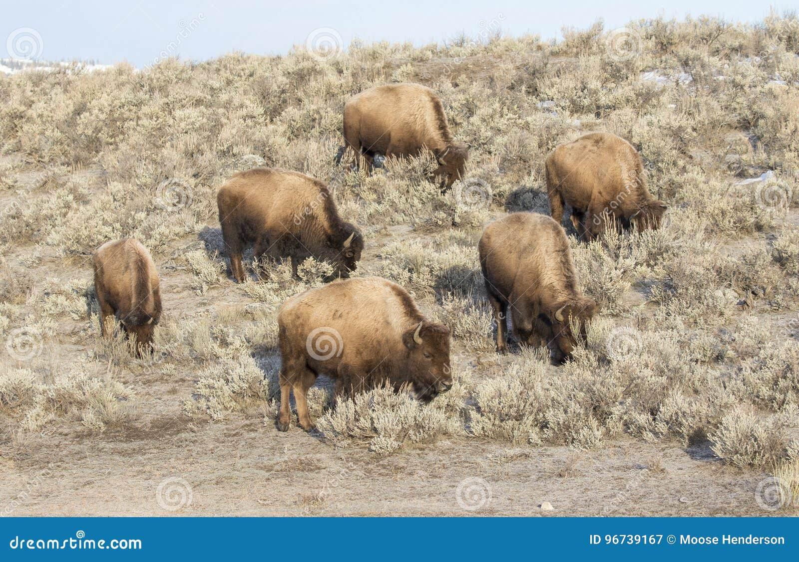 Kobison som söker efter föda på kullen av malörten i tidig vinter