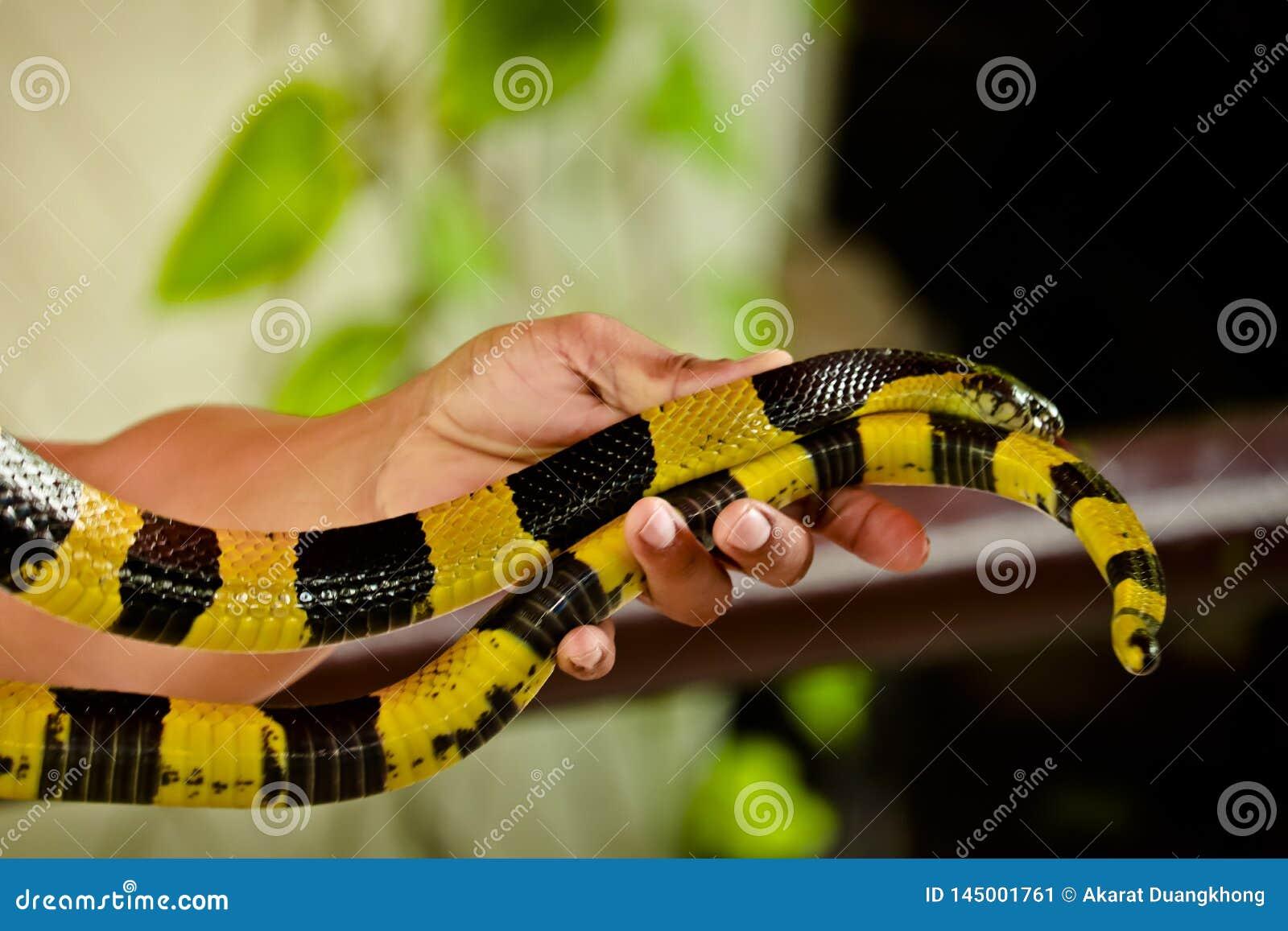 Kobra rozprzestrzenia kapiszon