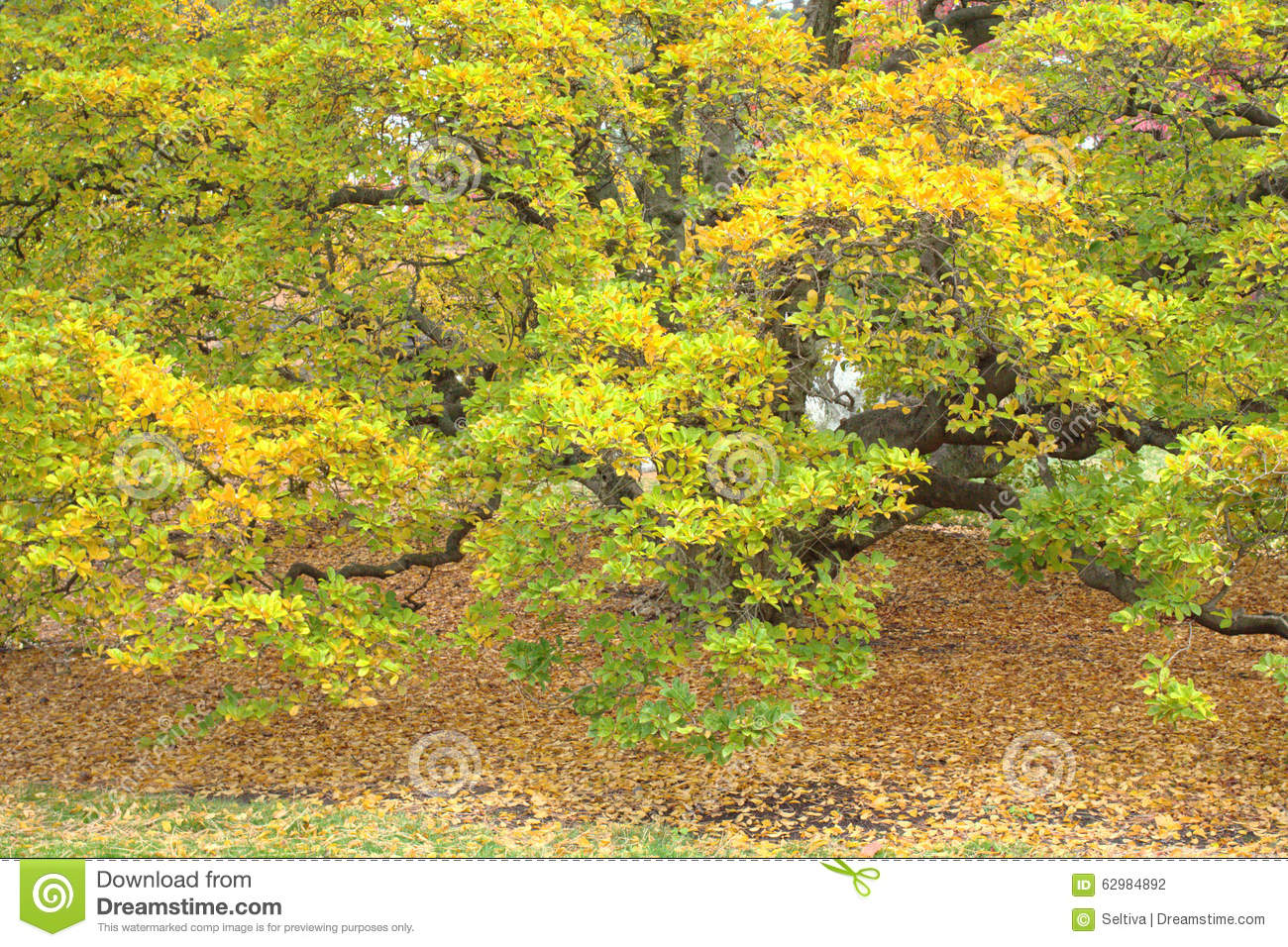 Kobus Magnolia Magnolia Kobus Stock Photo Image Of Falling