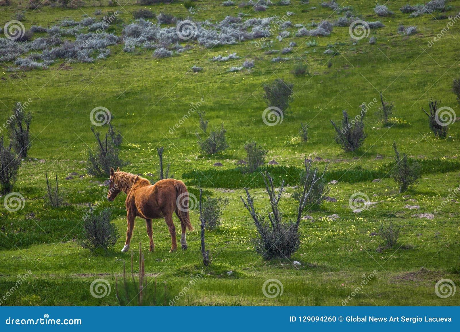 Kobyli koński odprowadzenie przez zielonego pola na gospodarstwie rolnym