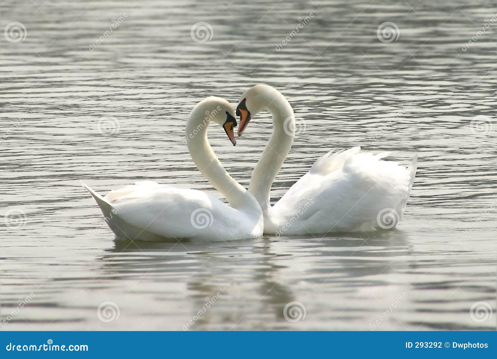 Kochający łabędzia.