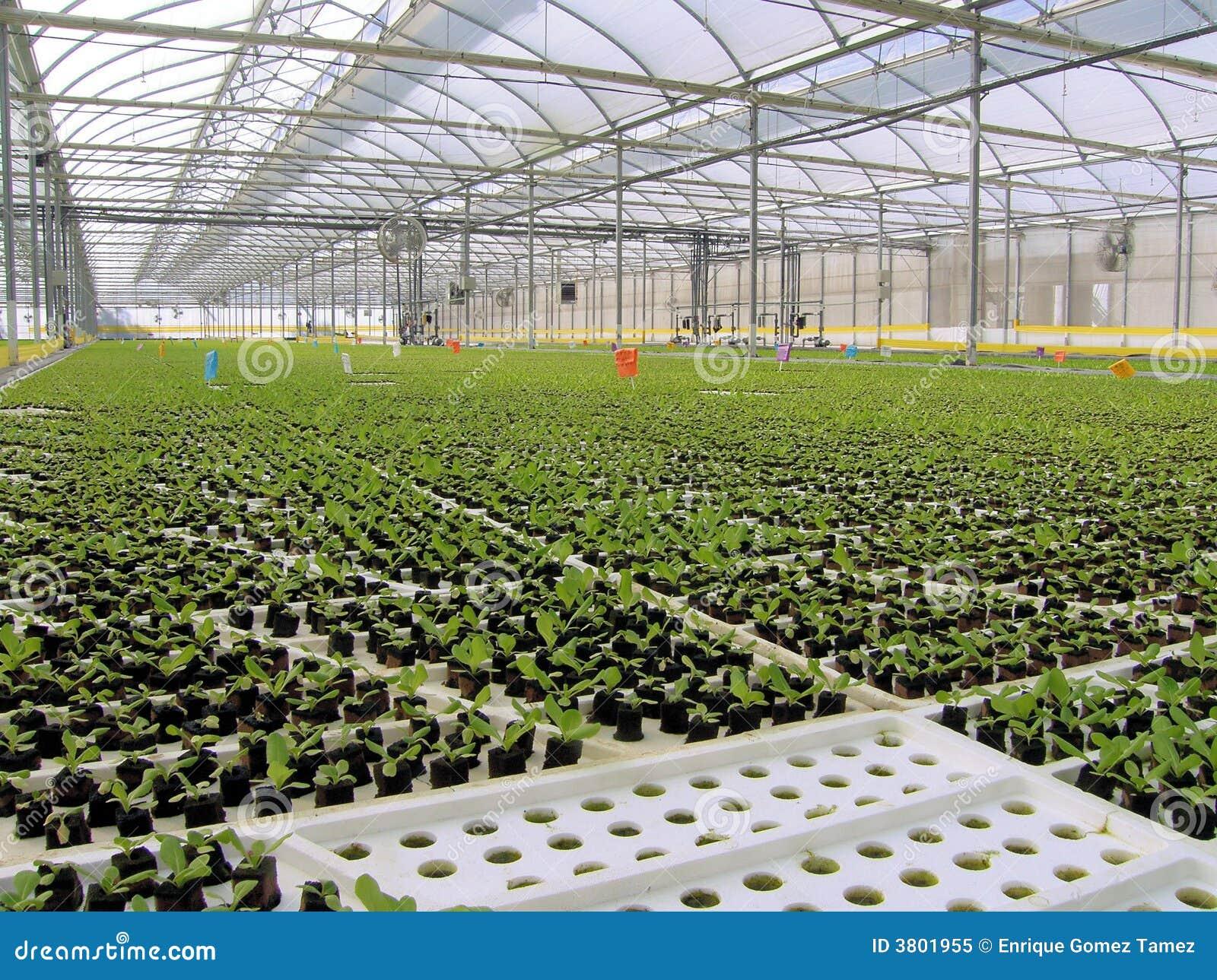Kochanie hydroponic sałaty