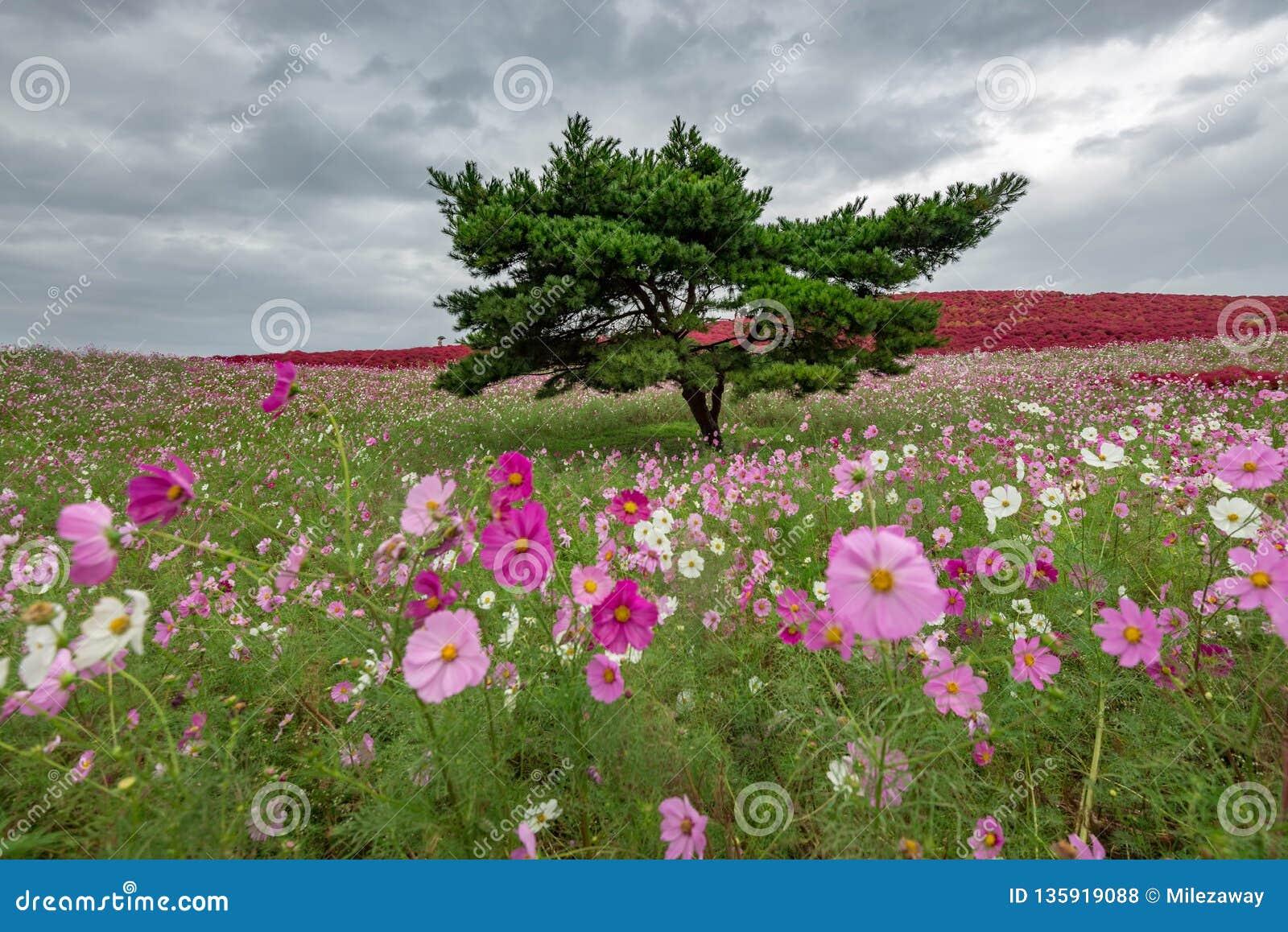 Kochia- och kosmosbusken med kullen landskap berget, på den Hitachi sjösidan parkerar i höst