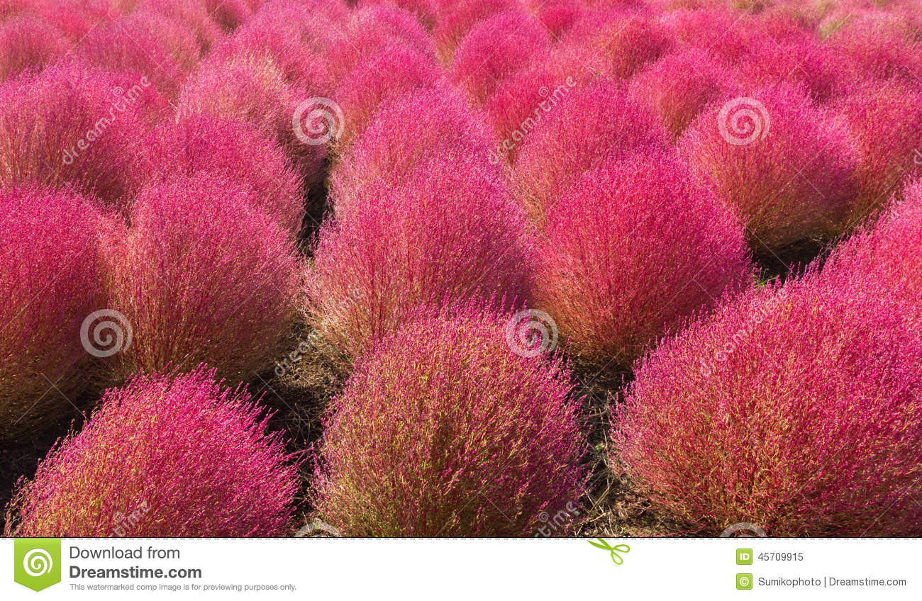 Kochia Scoparia Stock Image Image Of Many Purple Landscape