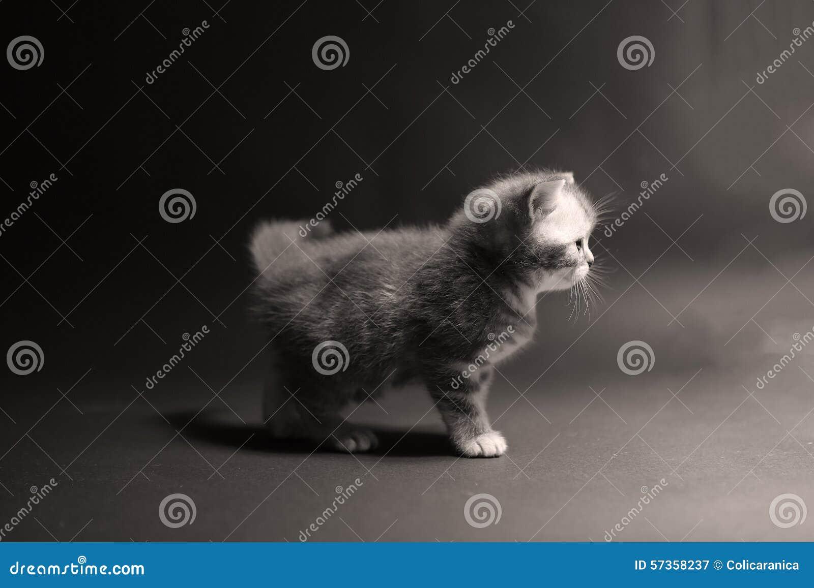 Kociaki shorthair brytyjski