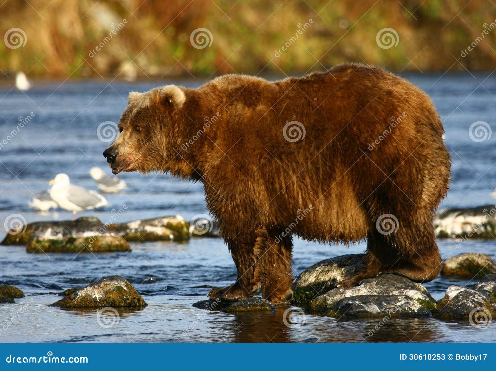 Kodiak brown bear stock image. Image of kodiak, heavy