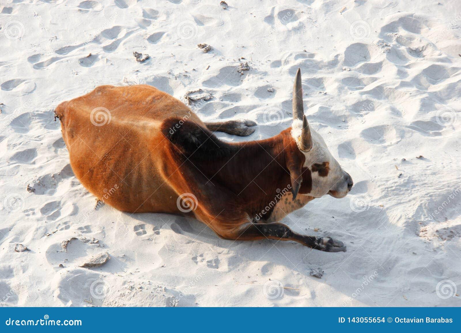 Koe die op strand in India ligt