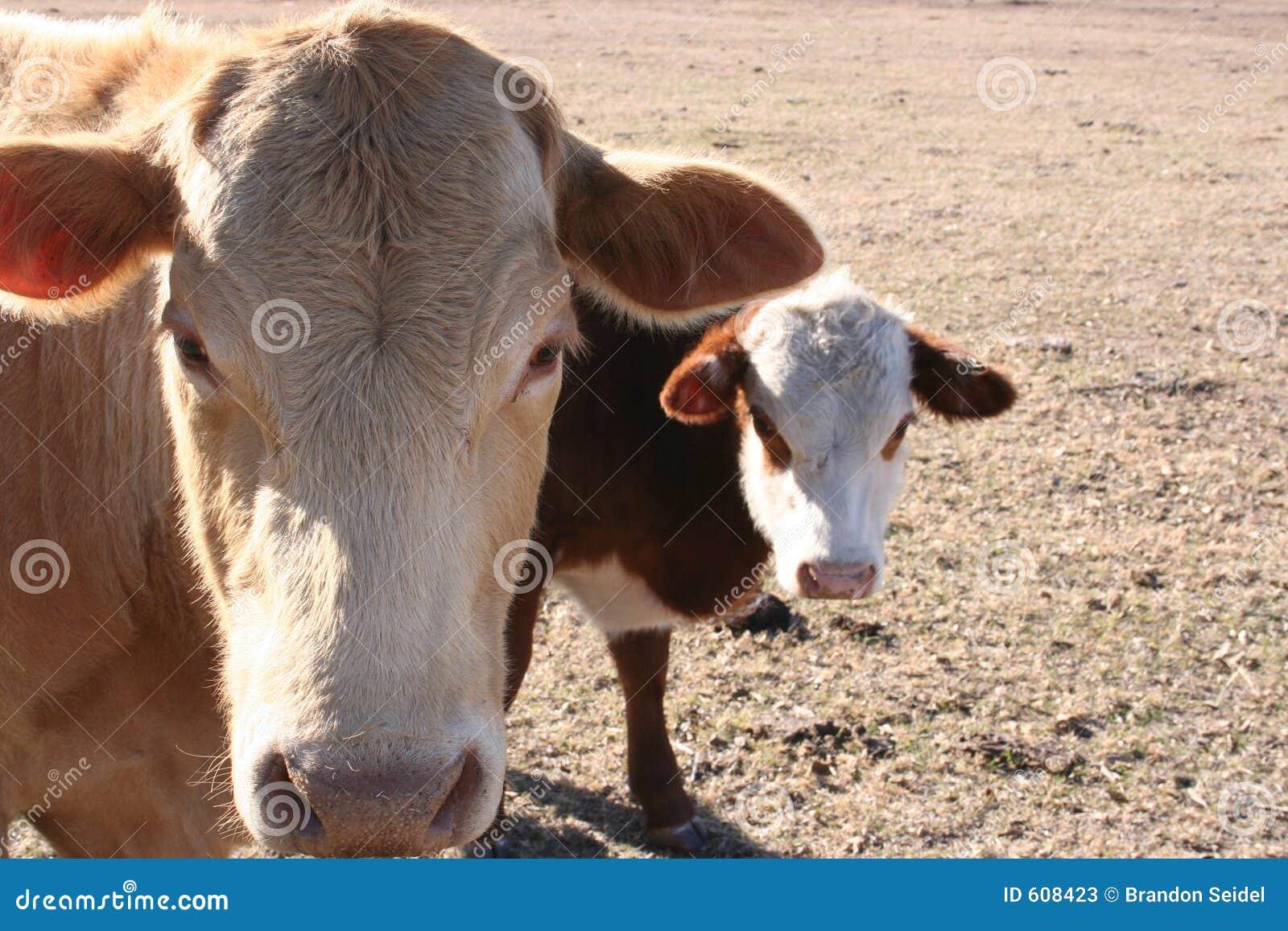 Koe en Kalf