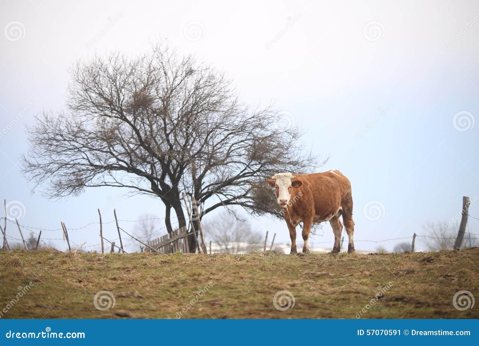 Koe in heuvel