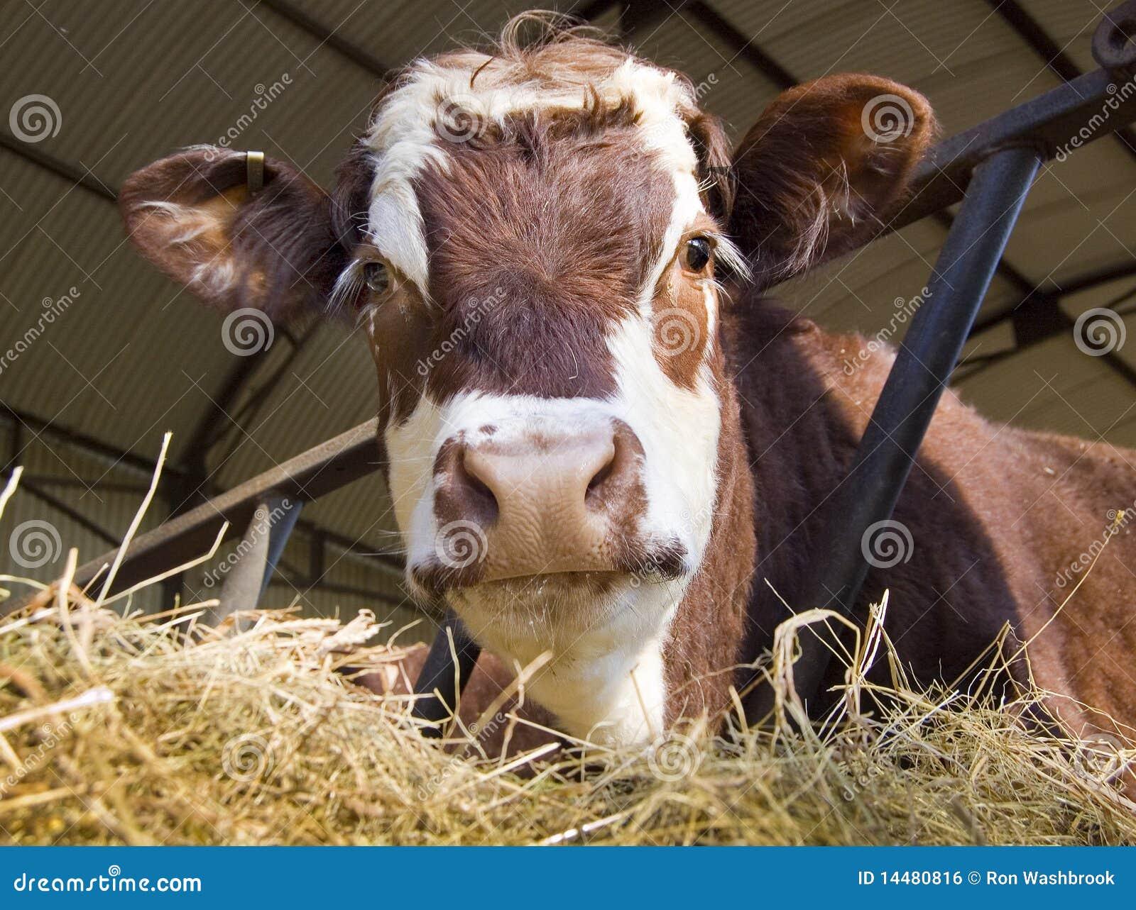 Koe in loods