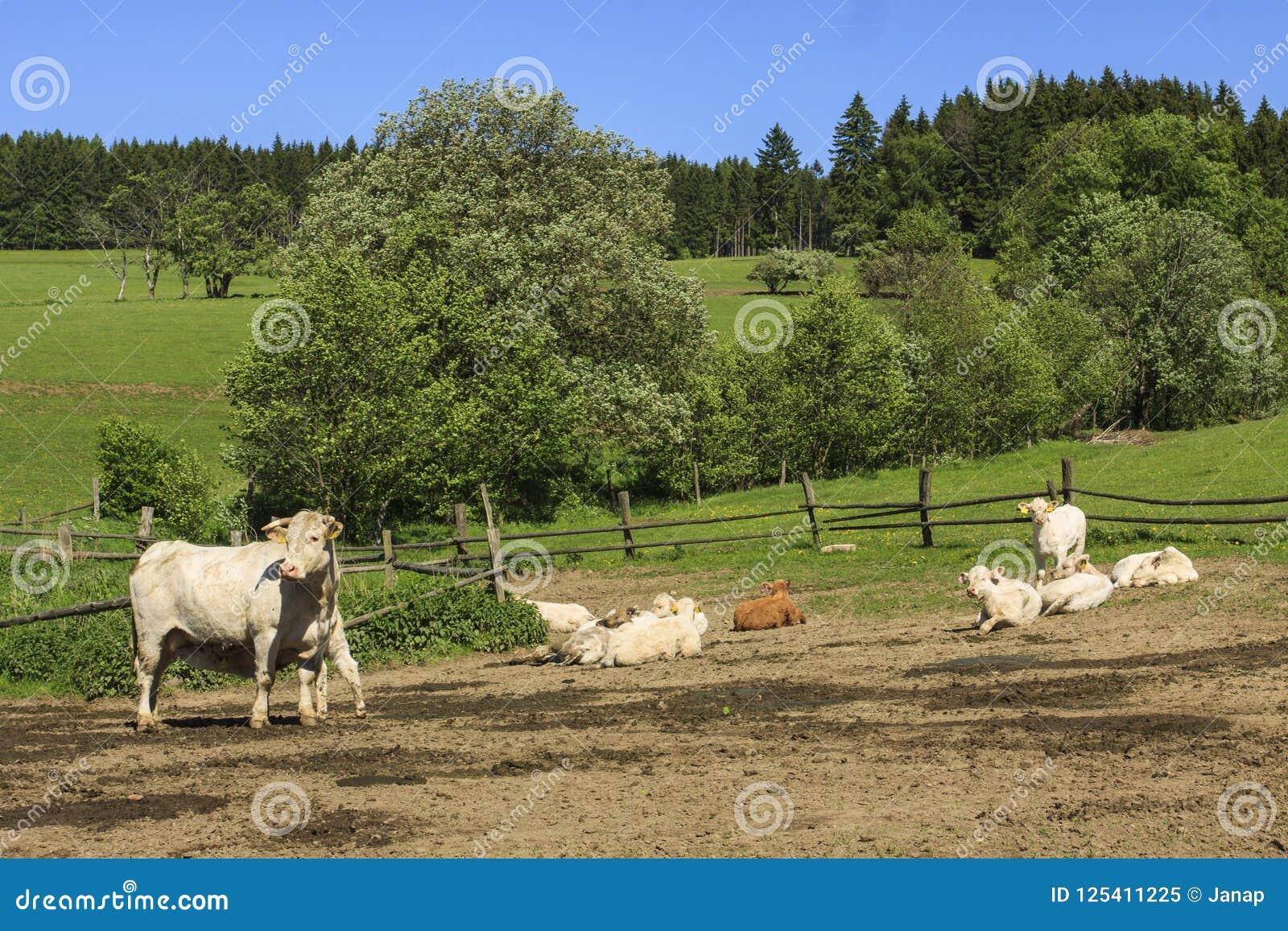 Koe van Charolais dreef op het weiland