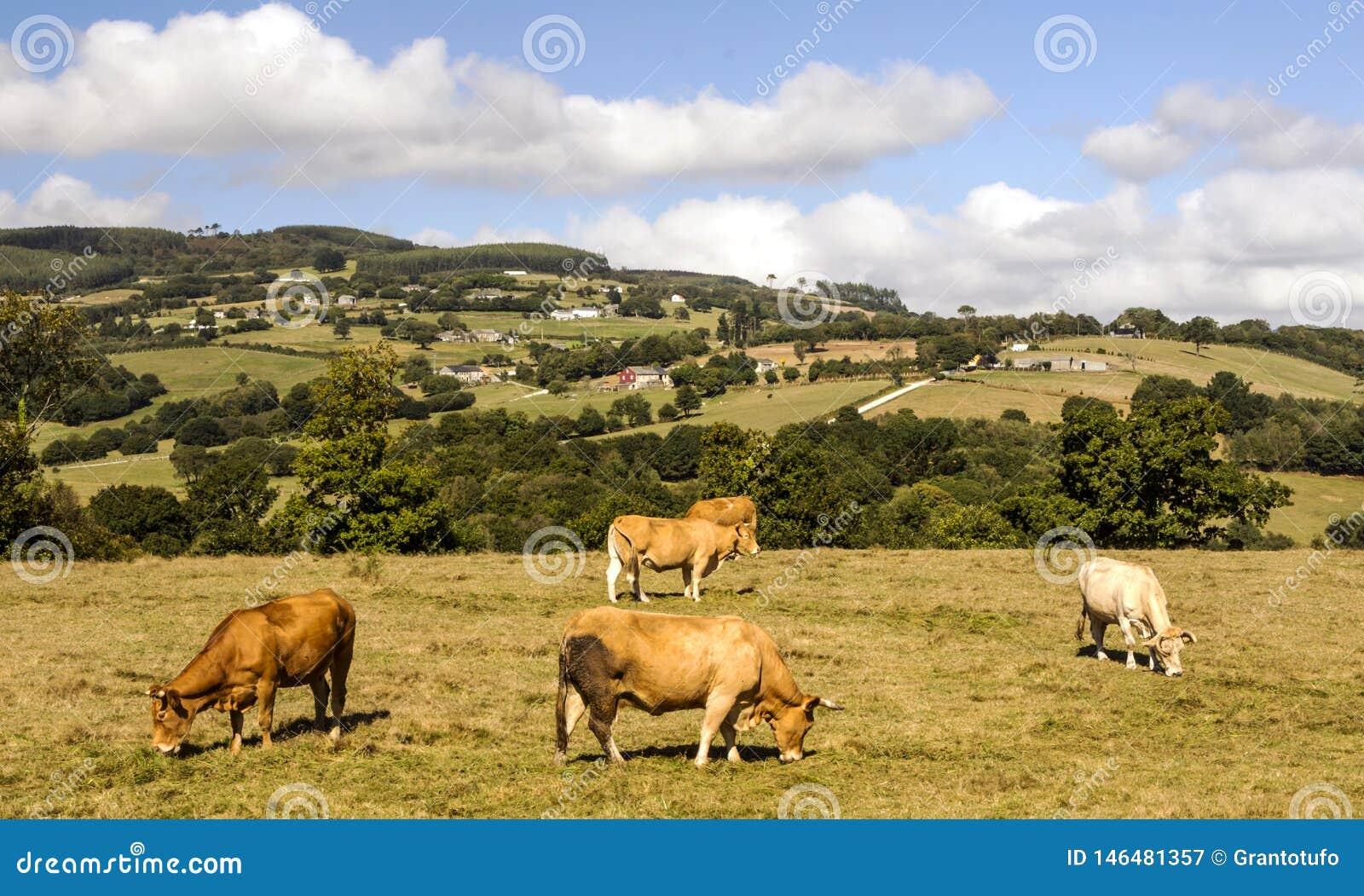 Koeien in de weiden