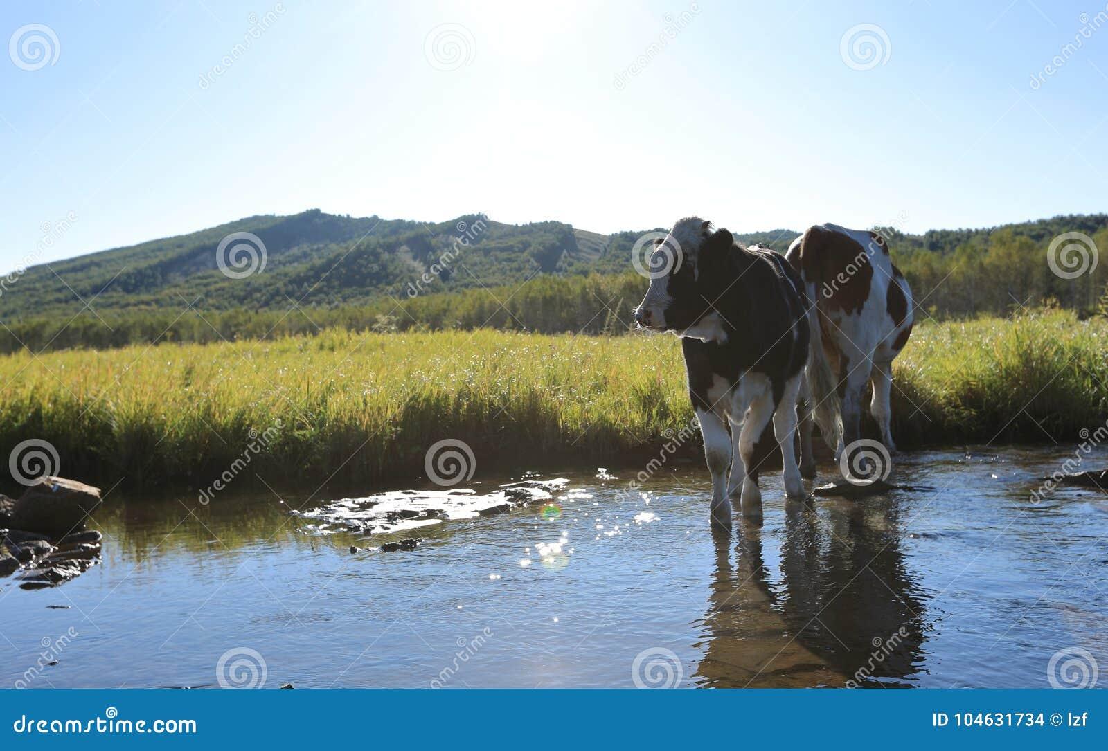 Download Koeien Die Door De Rivier Lopen Stock Foto - Afbeelding bestaande uit groen, eating: 104631734