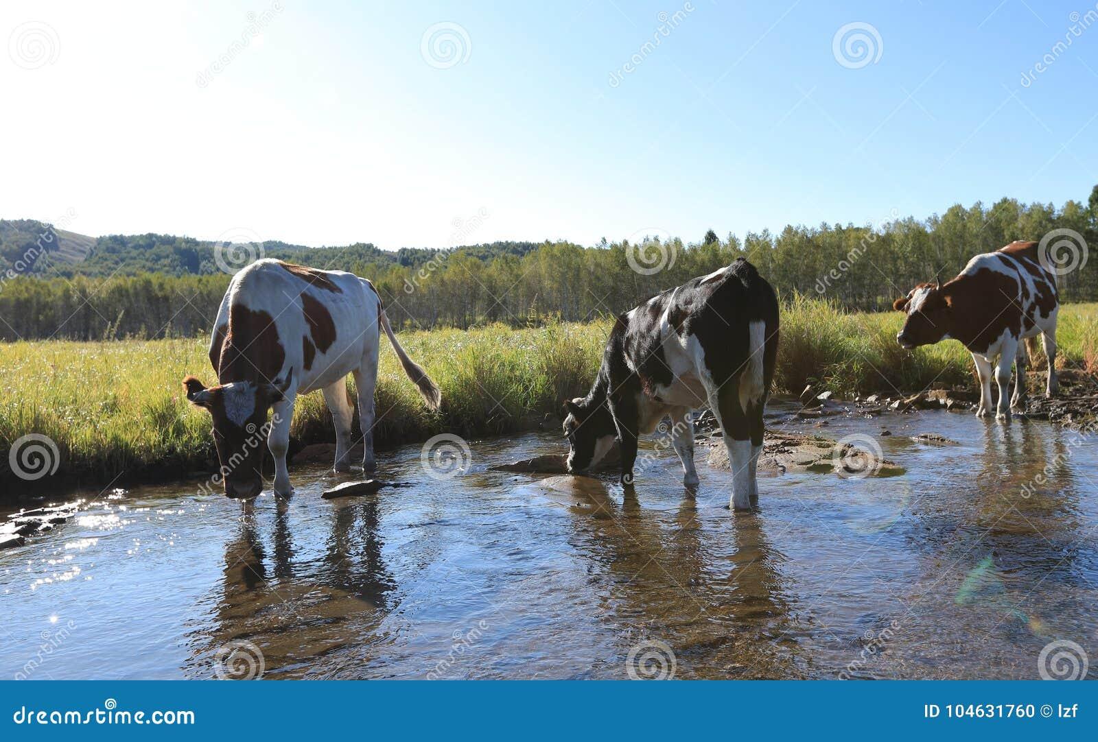 Download Koeien Die Door De Rivier Lopen Stock Foto - Afbeelding bestaande uit aziatisch, ochtend: 104631760