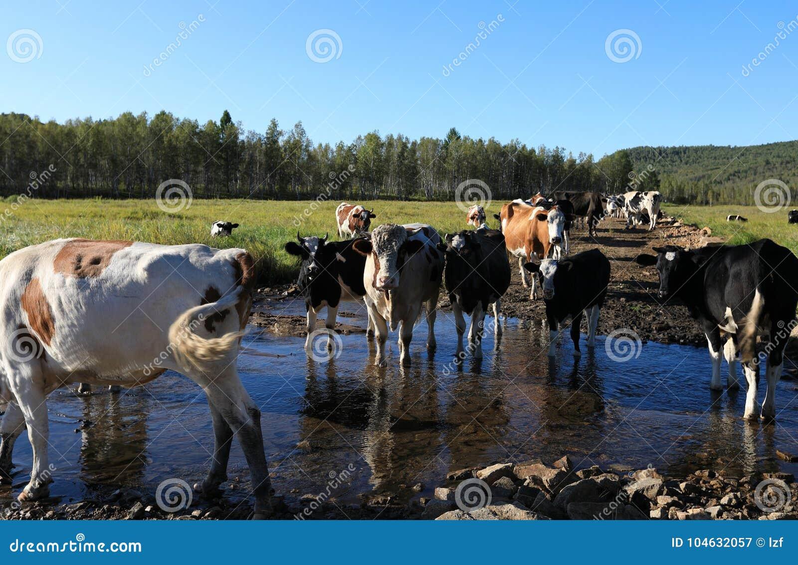 Download Koeien Die Door De Rivier Lopen Stock Afbeelding - Afbeelding bestaande uit naughty, nave: 104632057