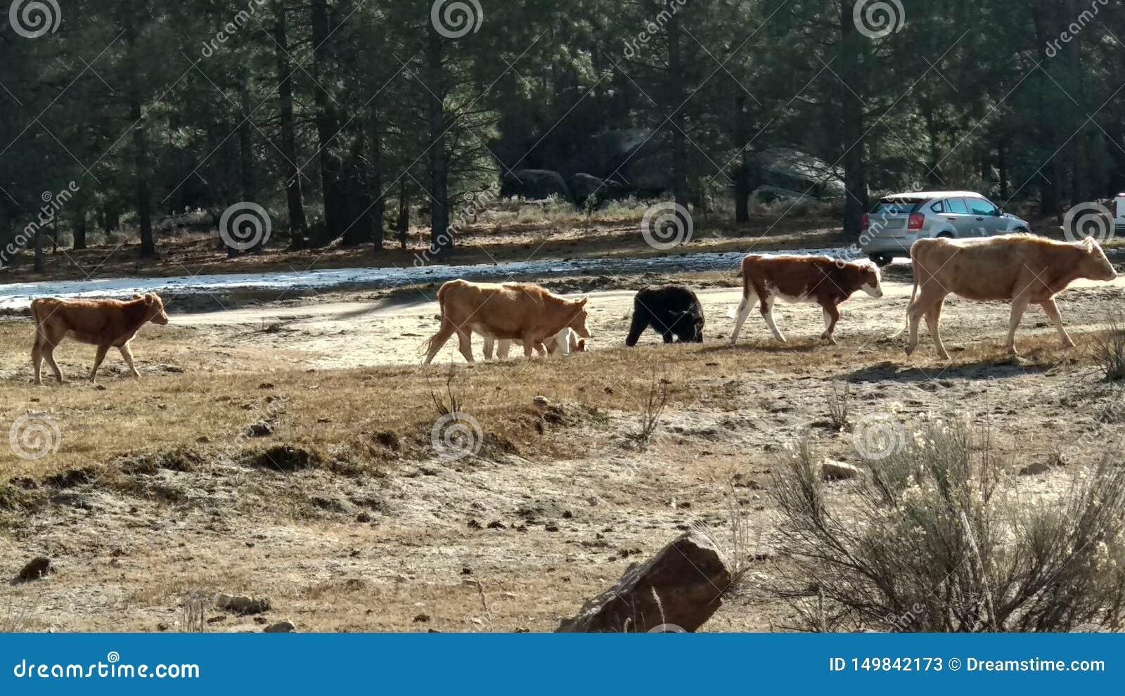 Koeien die op de sneeuw lopen